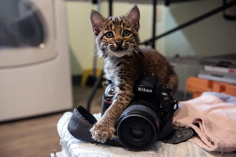 Bobcat Play