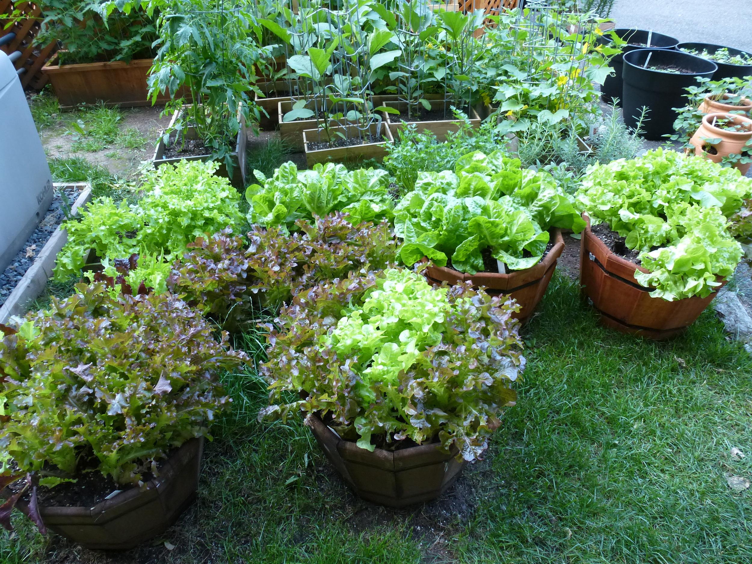 My overabundance of lettuce....taking over the garden.