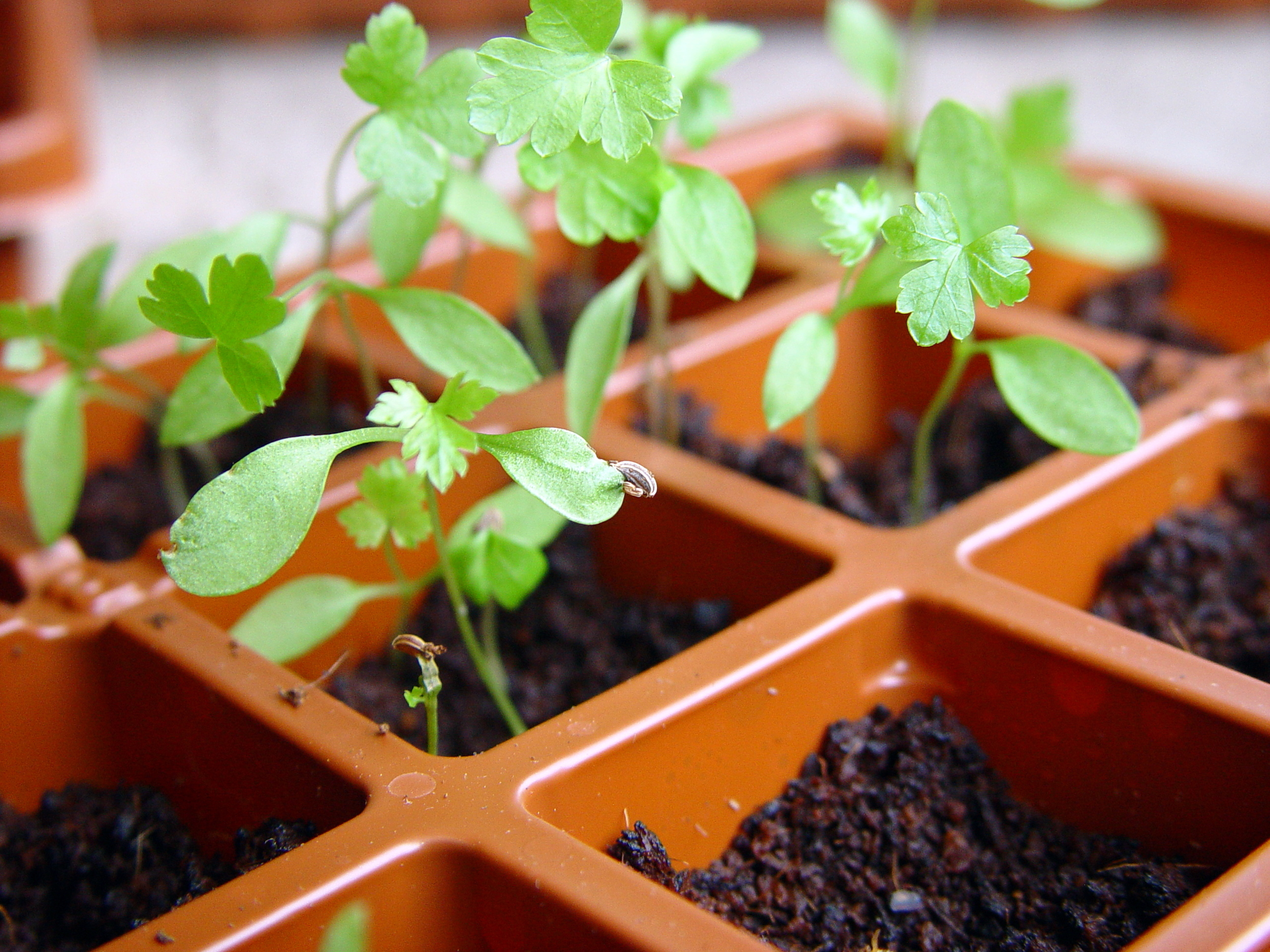 See the difference between true leaves of parsley and thecotyledon leaves (still attached to the seed).