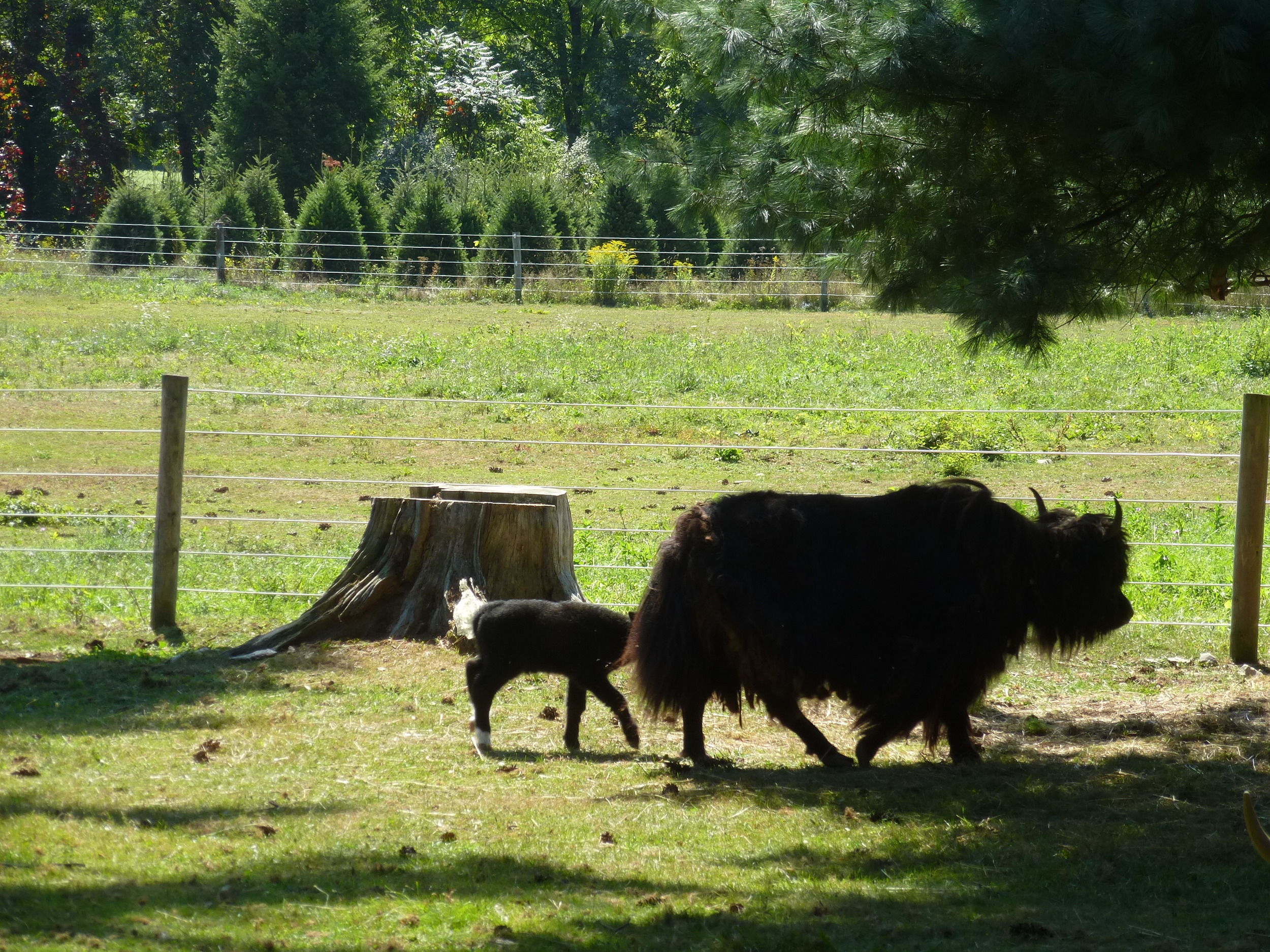 Mamma yak with her baby at Hidden Pastures Farm. She was very protective.