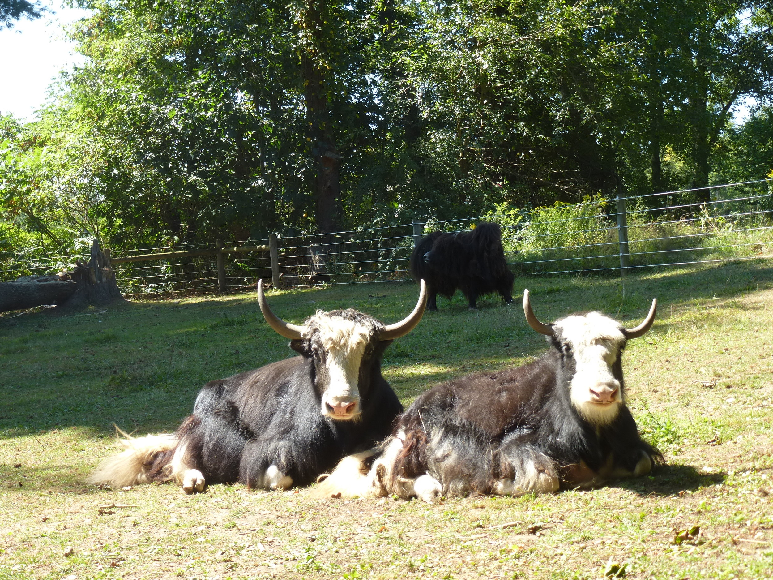 Yaks at   Hidden Pastures Fiber Farm. Apparently one of the yaks is in heat and hasn't left his sweetheart's side for weeks.