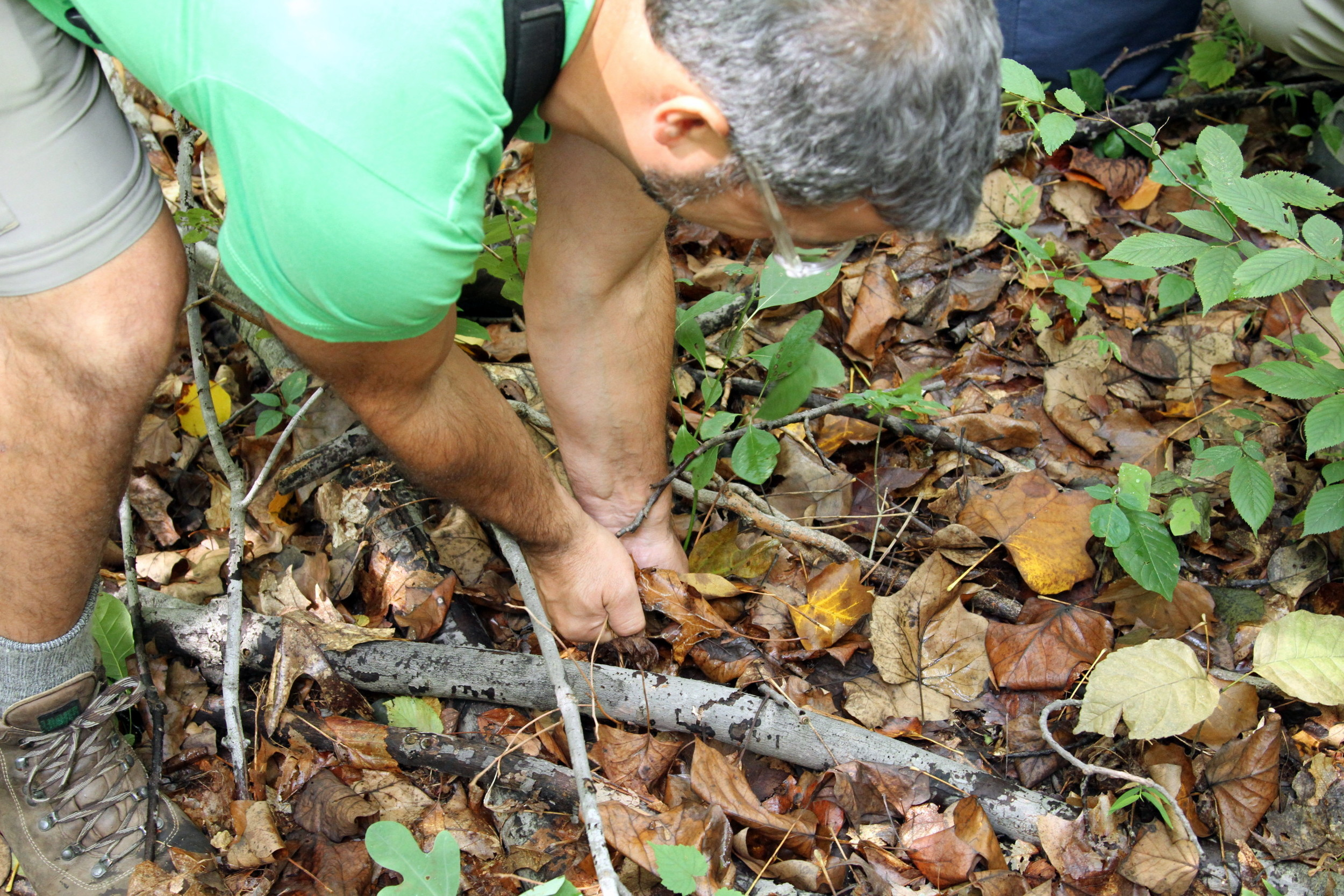 Pluck out Sassafras with two hands, by the root.