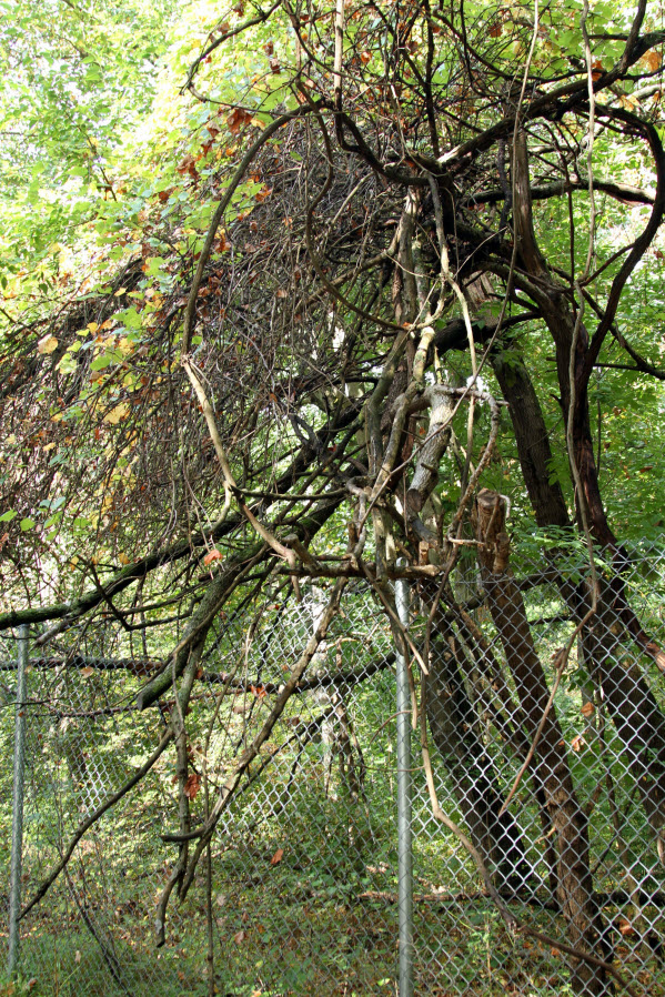 Wild Grape Vines in South Mountain Reservation