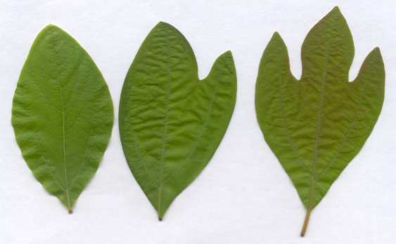 Three sassafras leaves - all from the same plant. Photo Credit:  augusta.gov