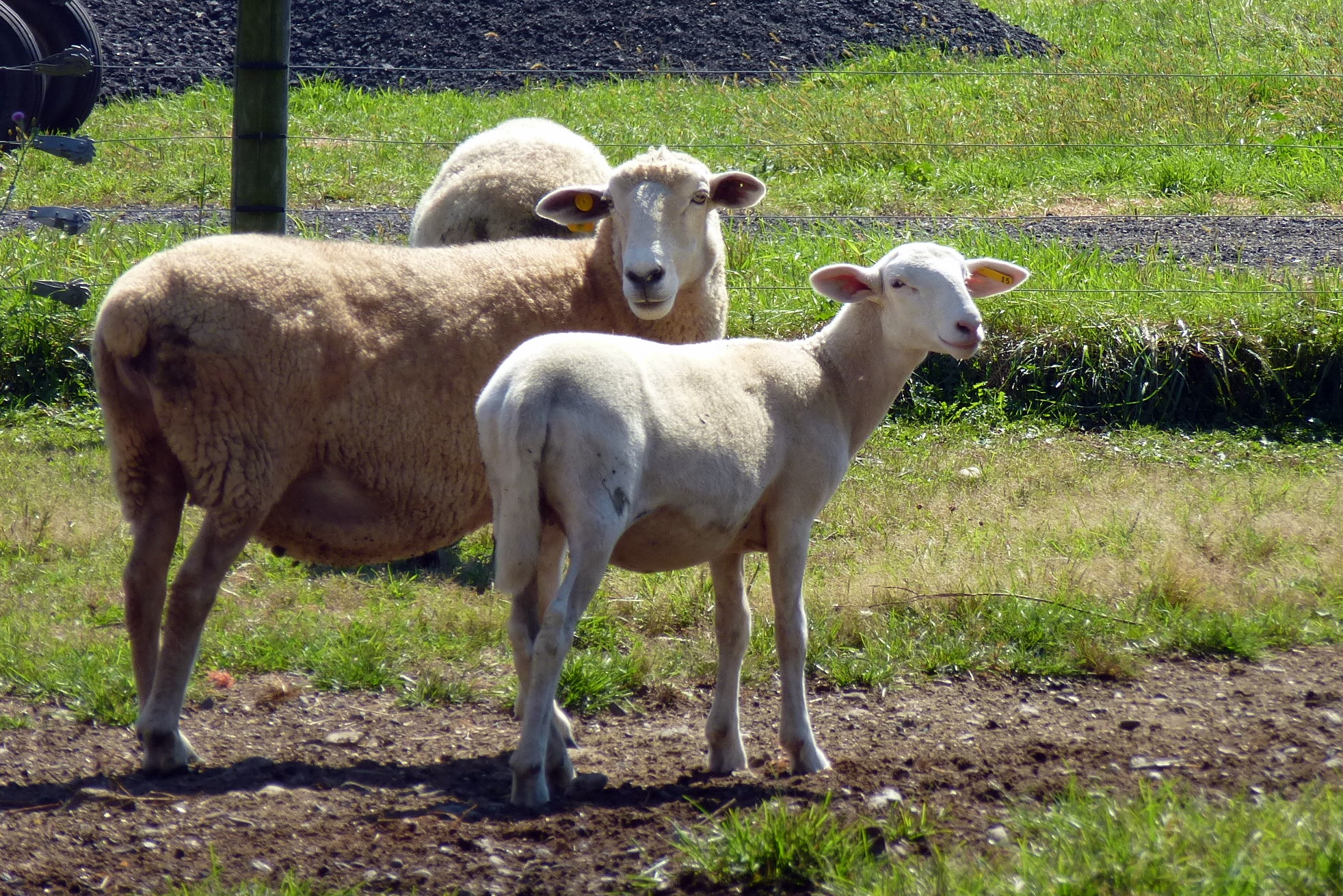 Sheep at Pittenger Farm