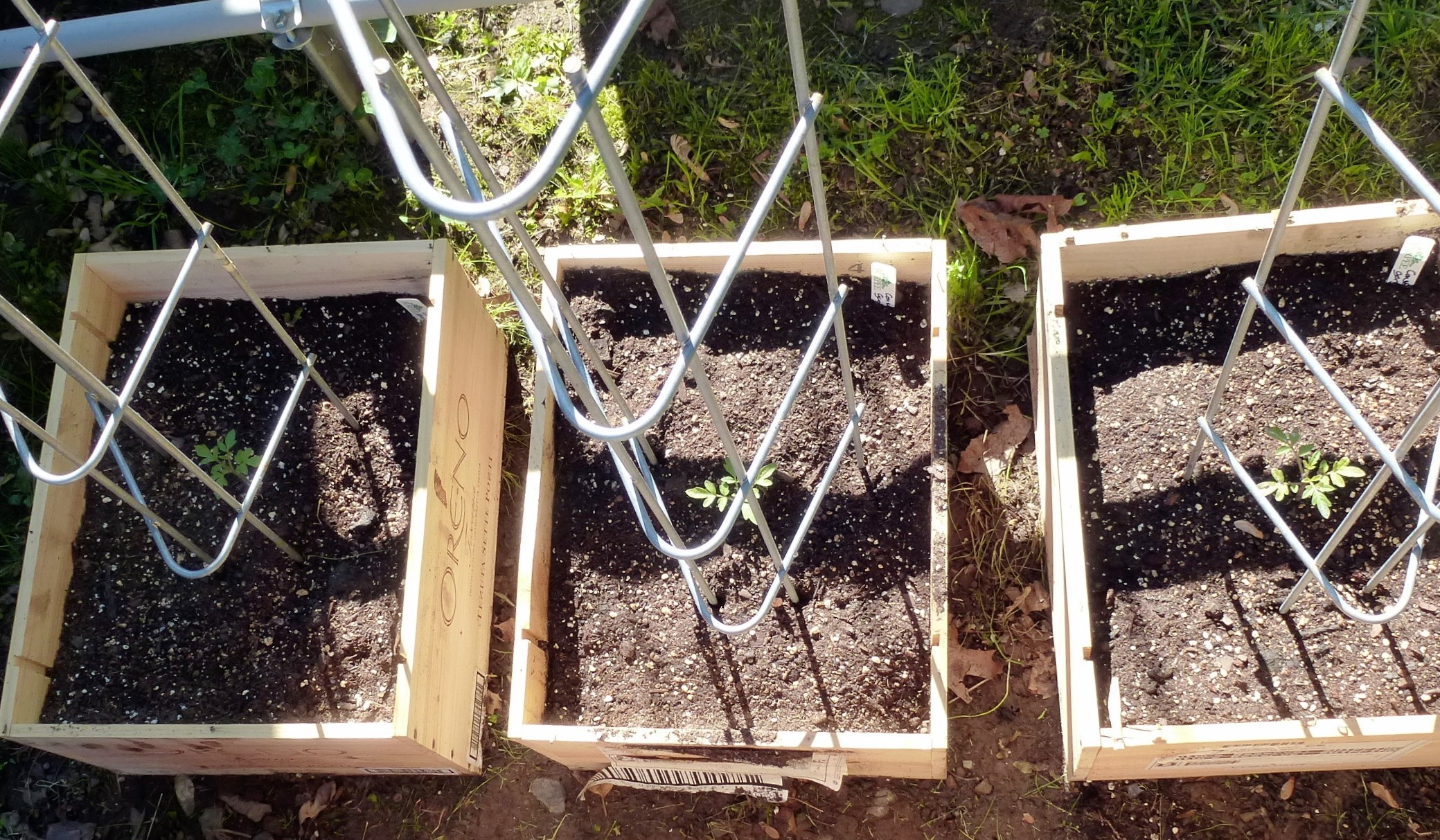 tomato-seedlings