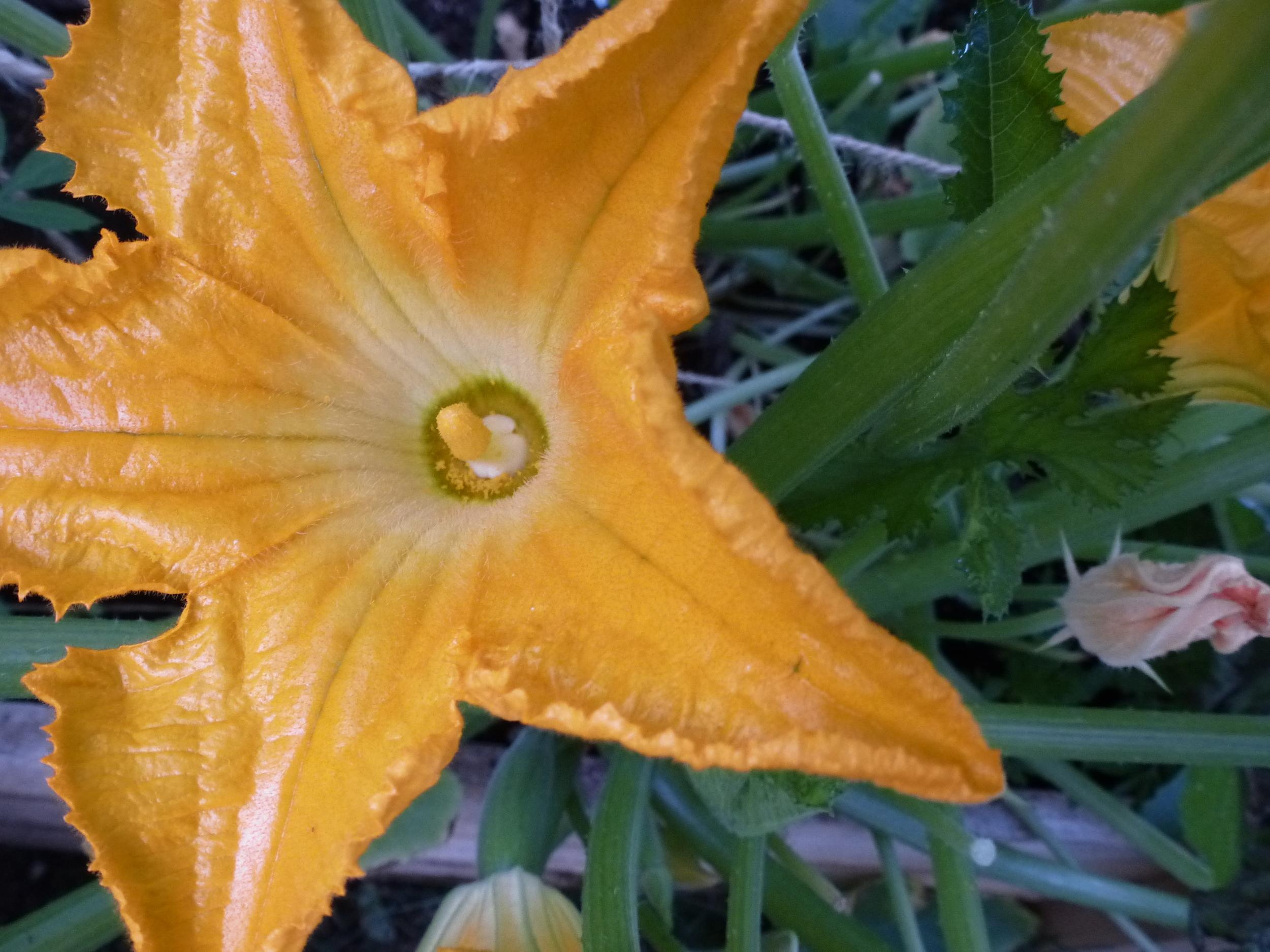 Male Stamen & Pollen
