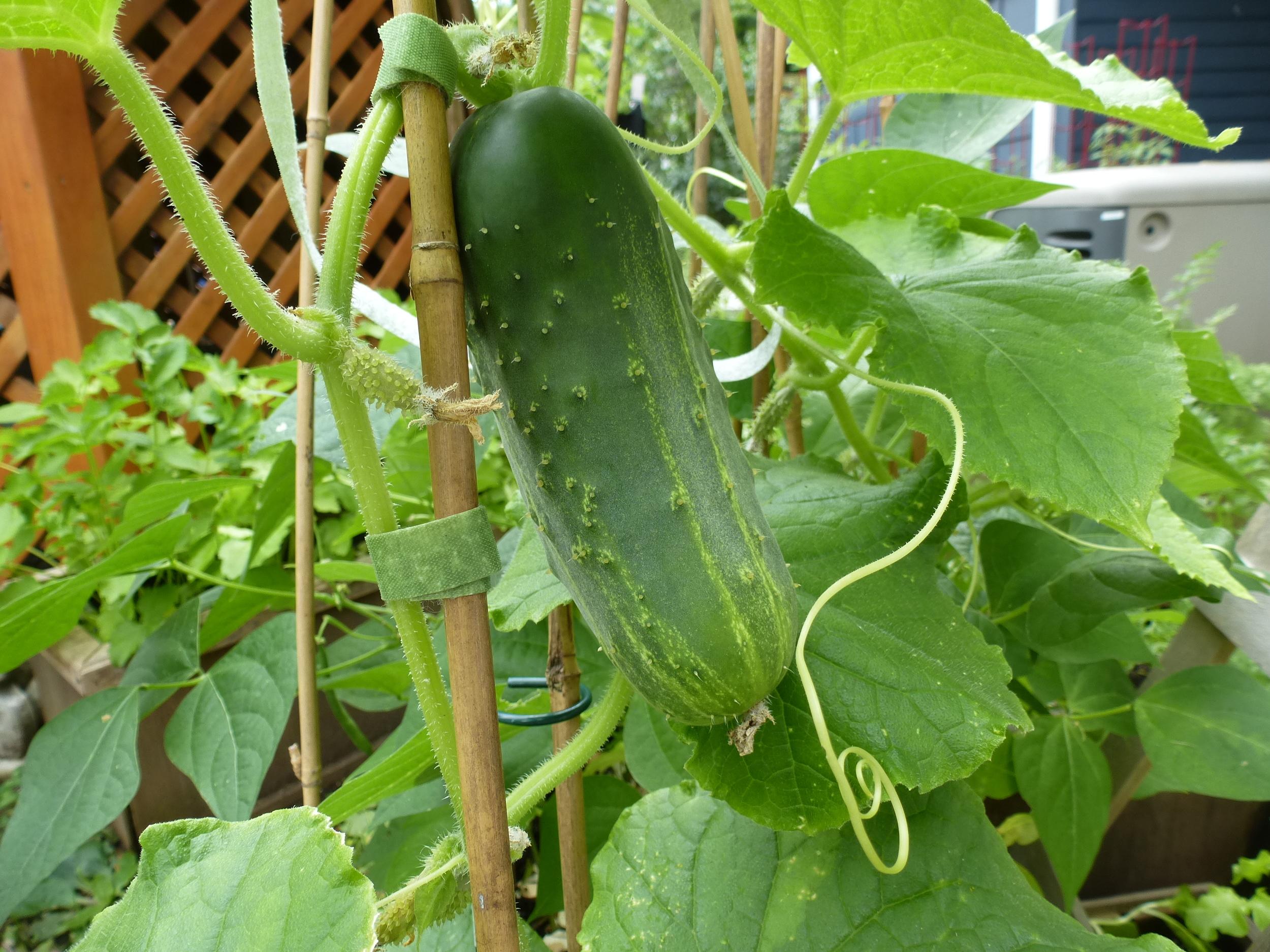Cucumber that did pollinate