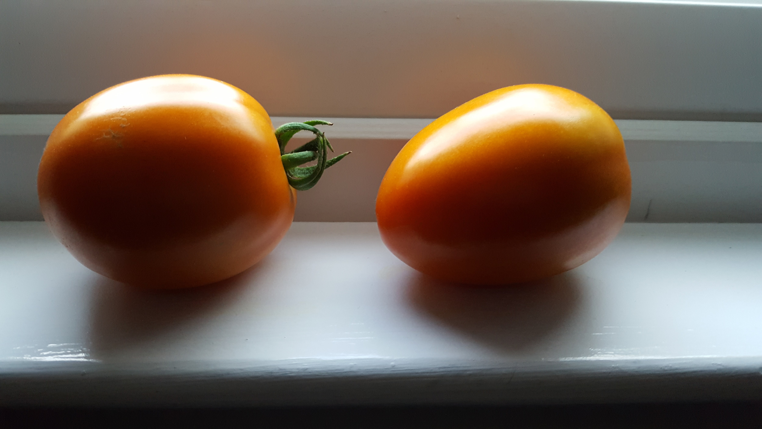 My two ripening Monica tomatoes