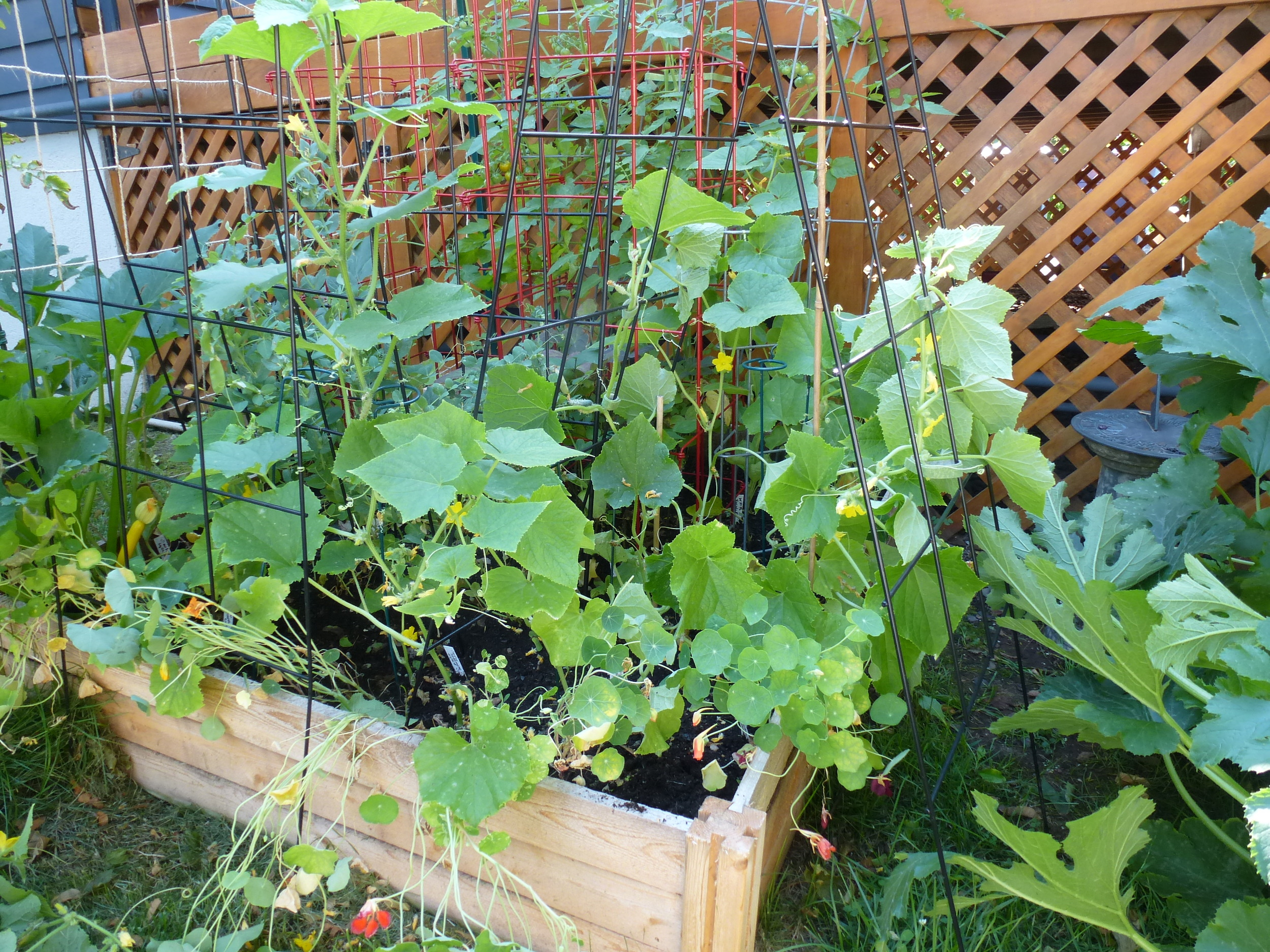 Thinned-out cucumber patch.