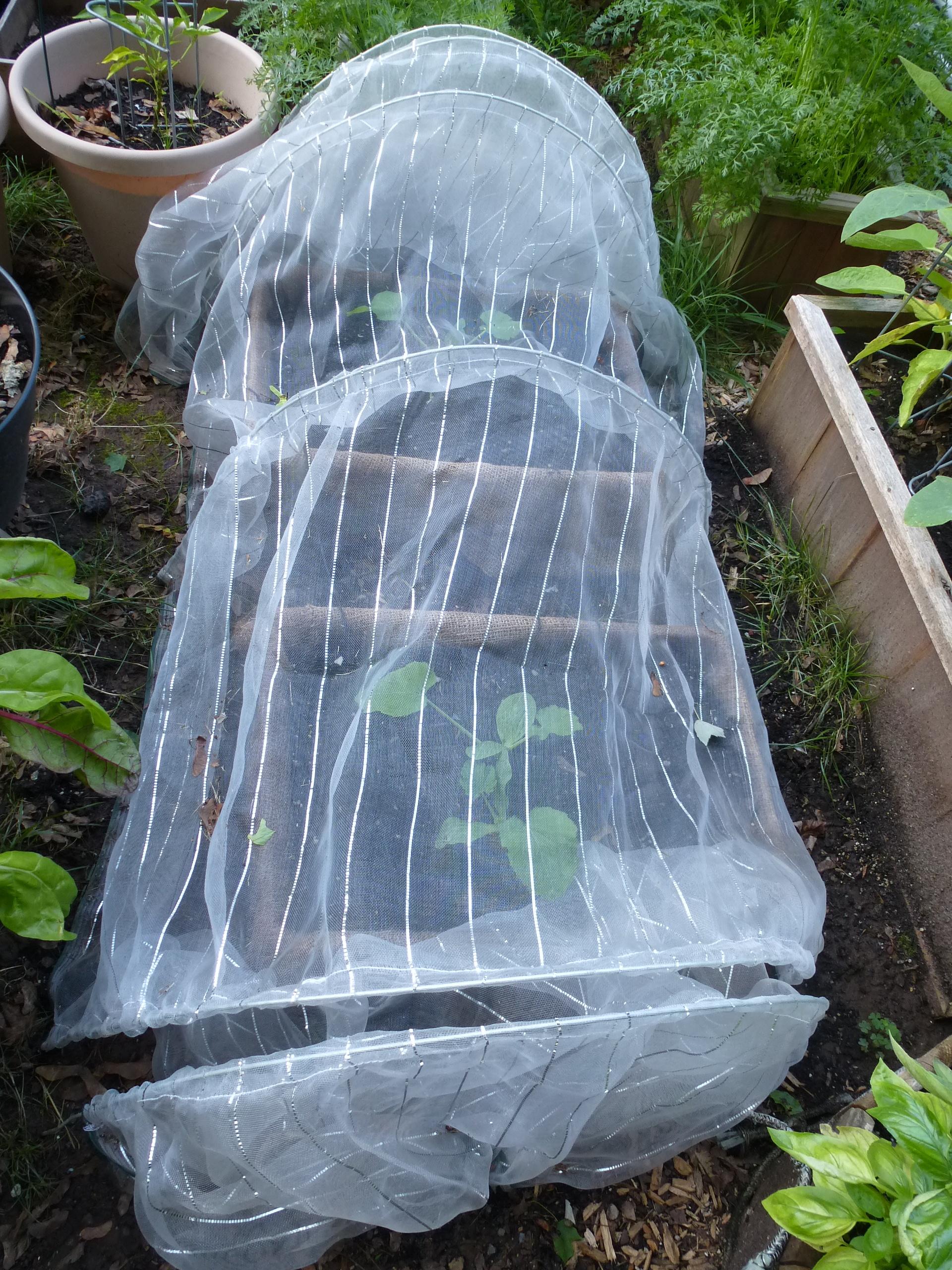 Tunnel Net over Zucchini Plants