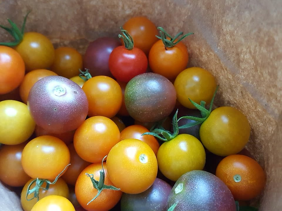 Sun Gold, Supersweet 100s, and Black Cherry Tomatoes