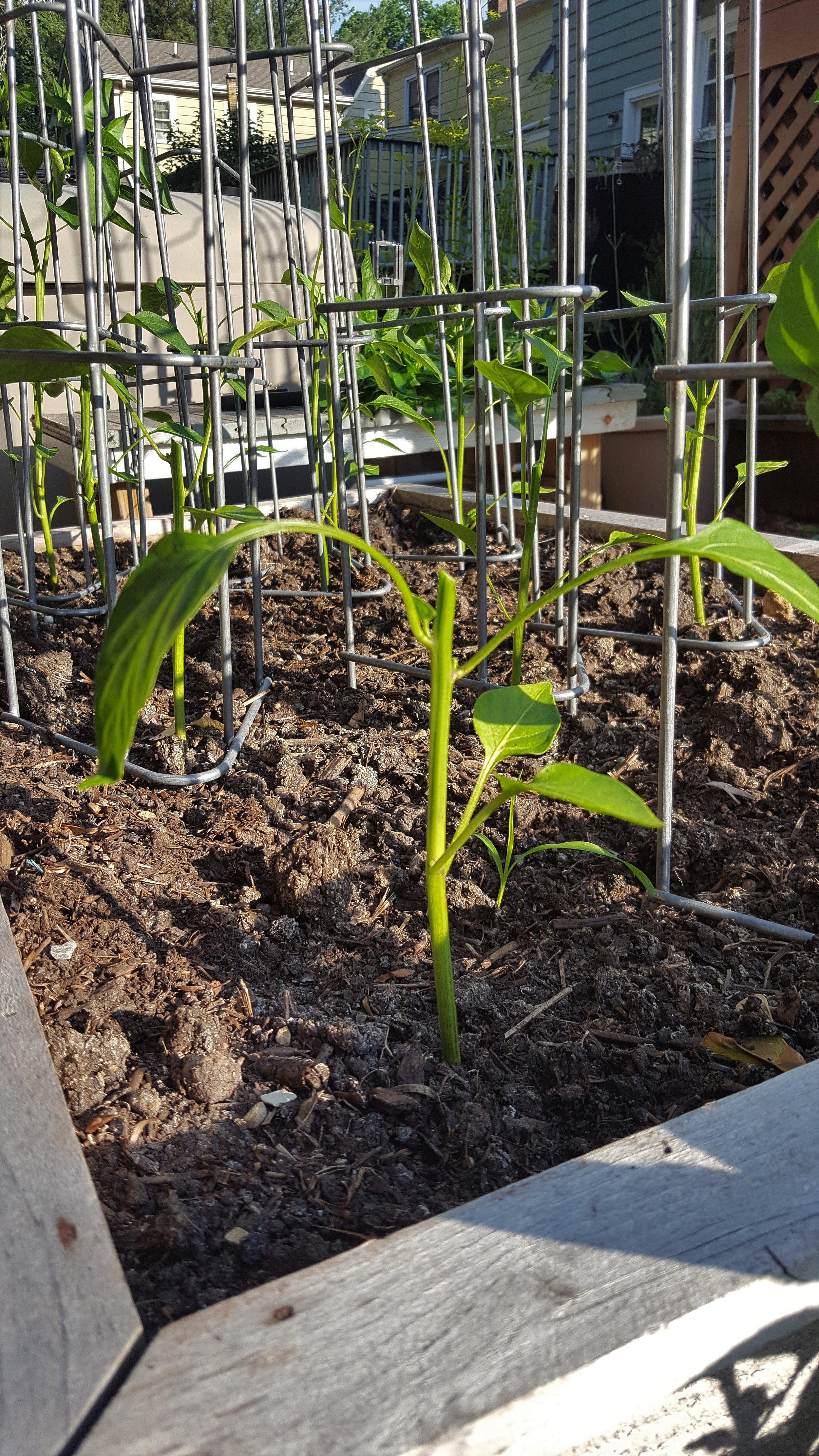 pruned-pepper-plants