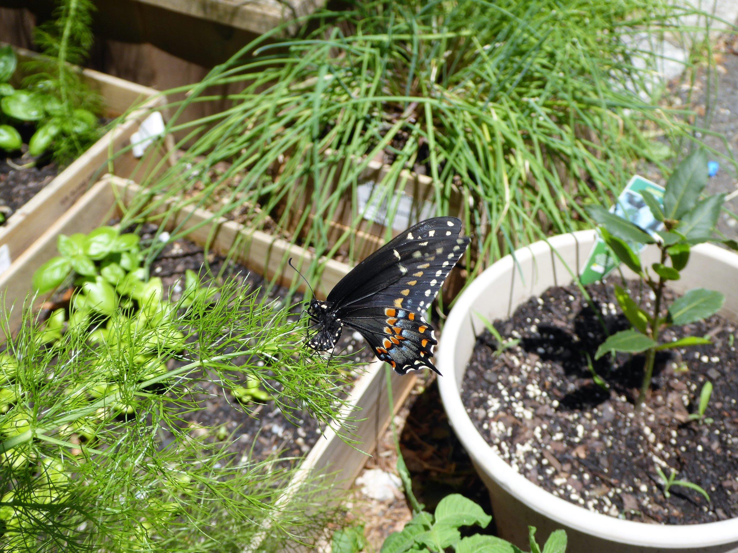 Tiger Swallowtail visits the garden