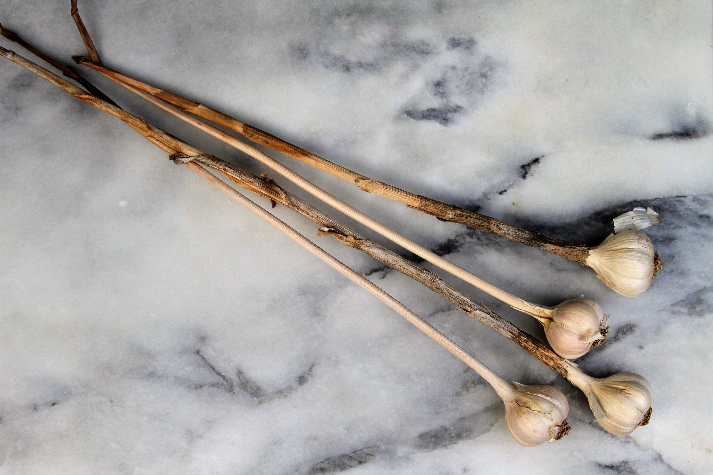 hardneck-garlic