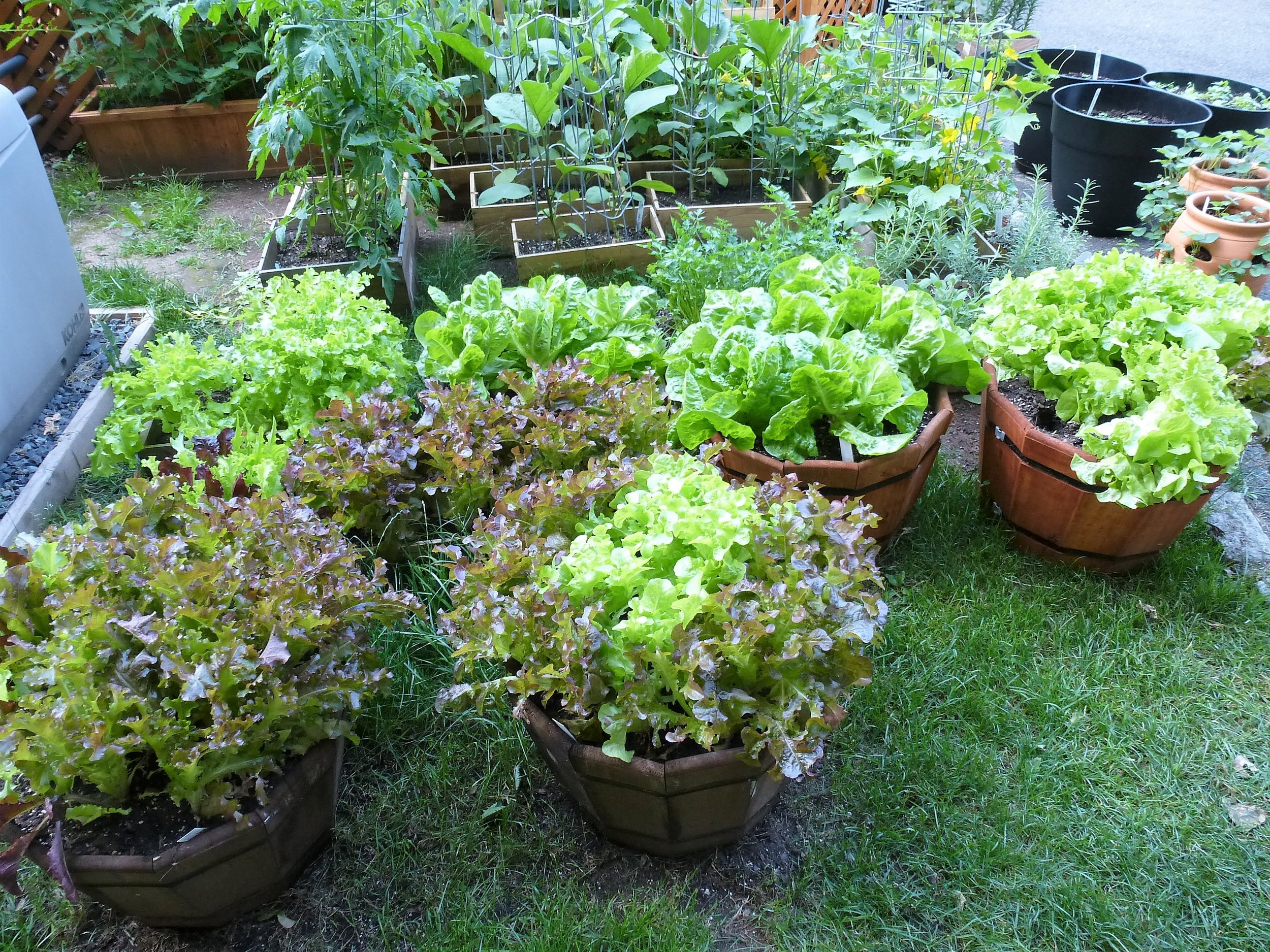 Lettuce grown in containers