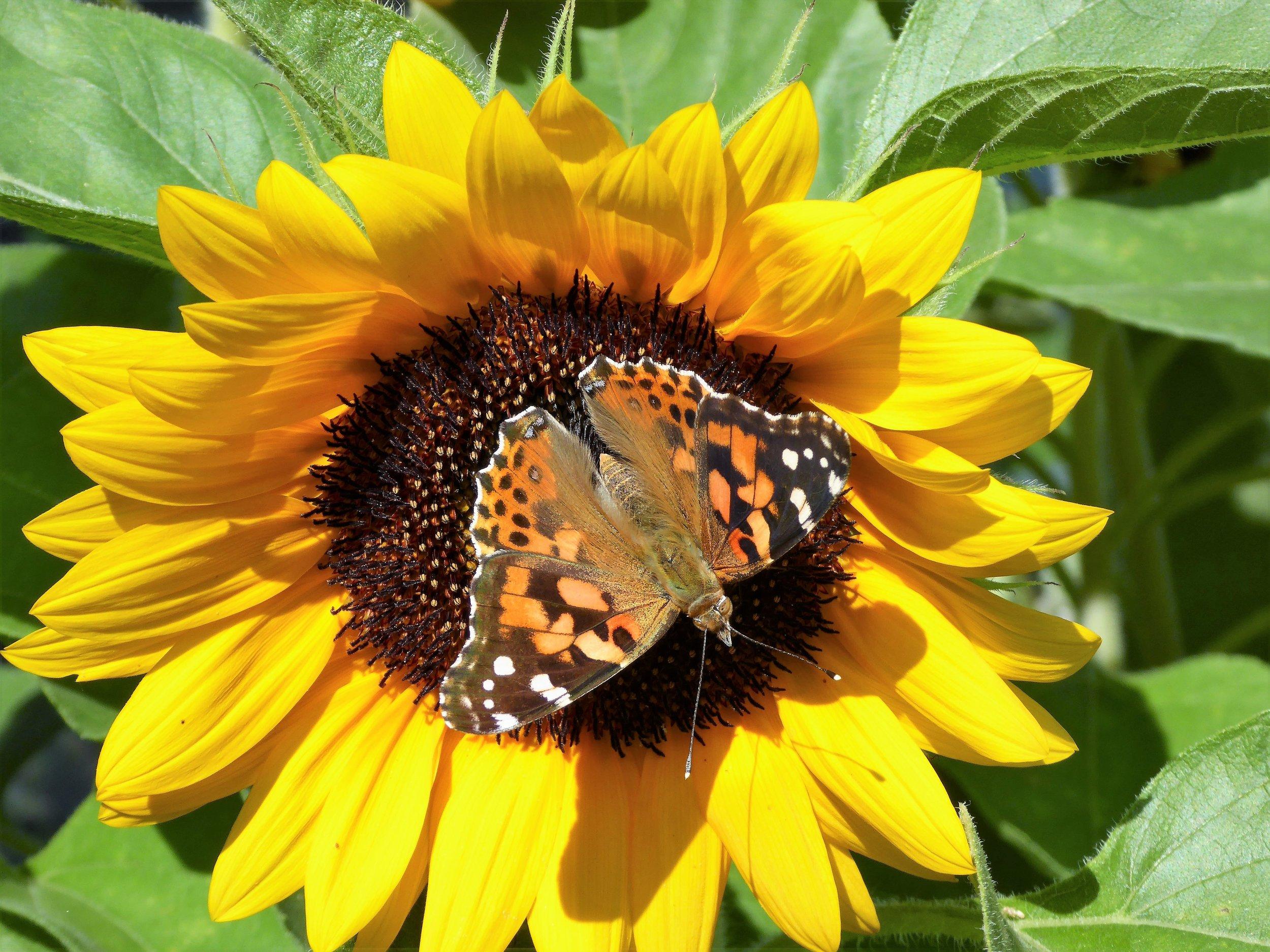 Sunflowers always attract pollinators
