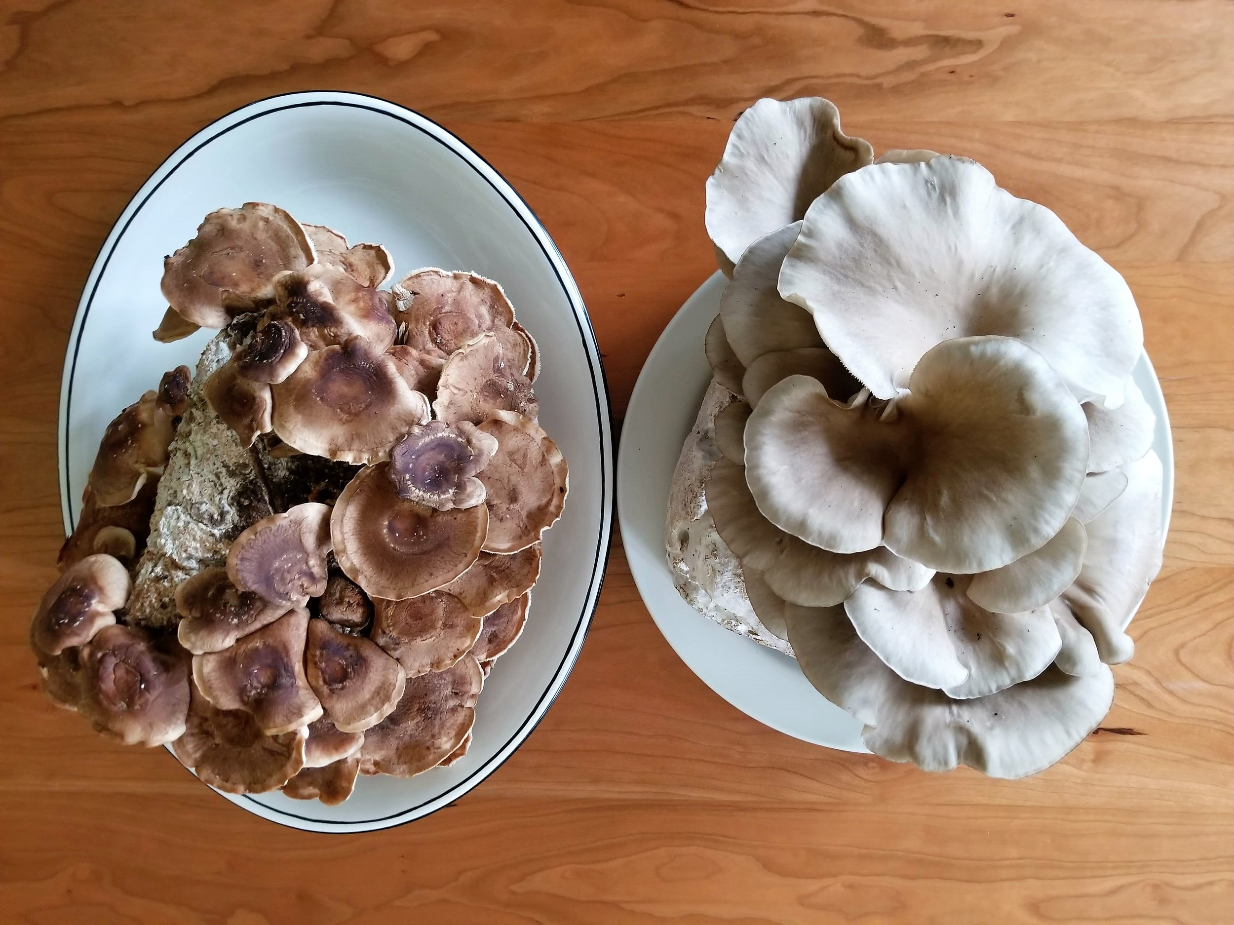 Our shiitake and oyster mushrooms from grow kits