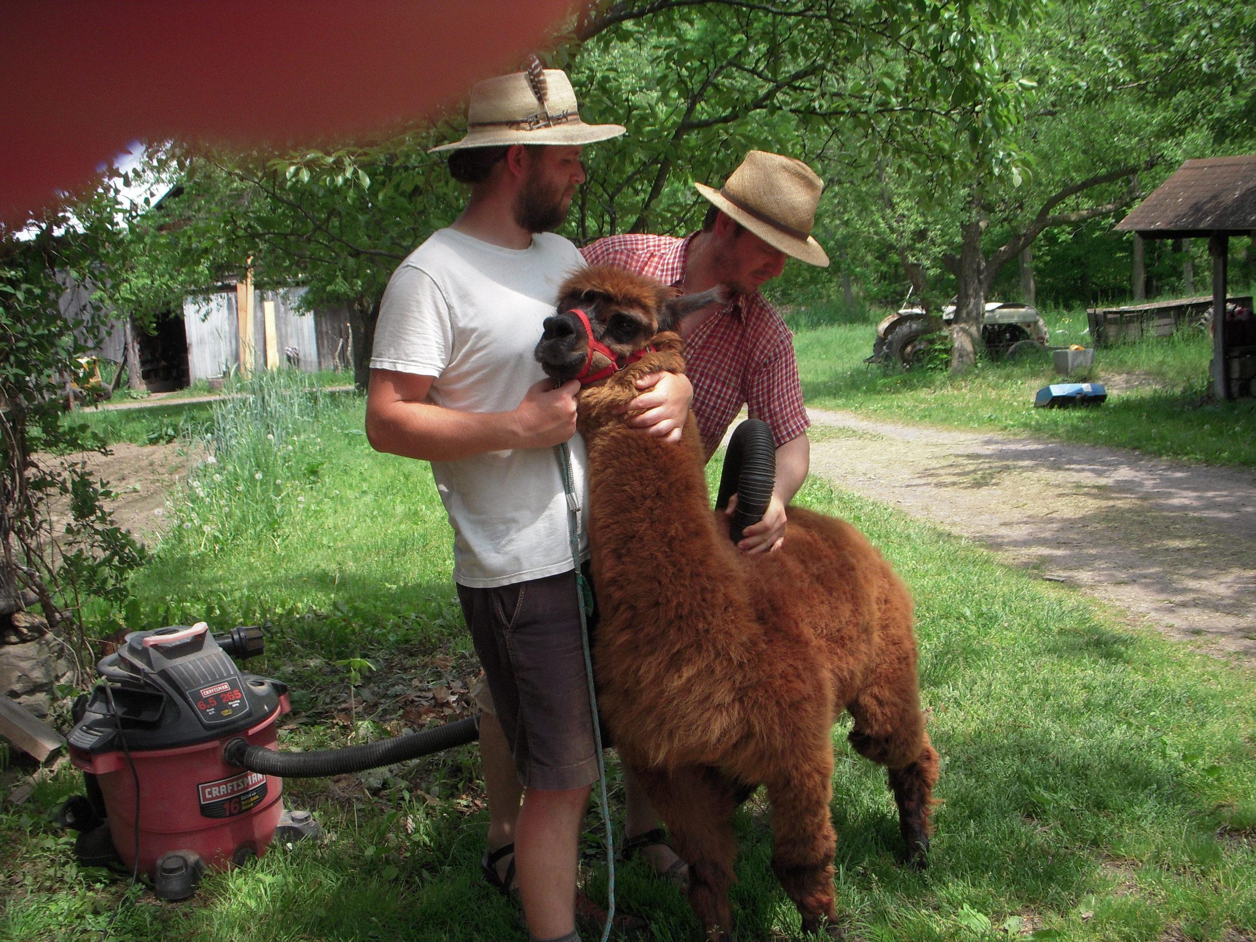 JourneysEndFarm_Alpacas2016-05-28 (3).JPG