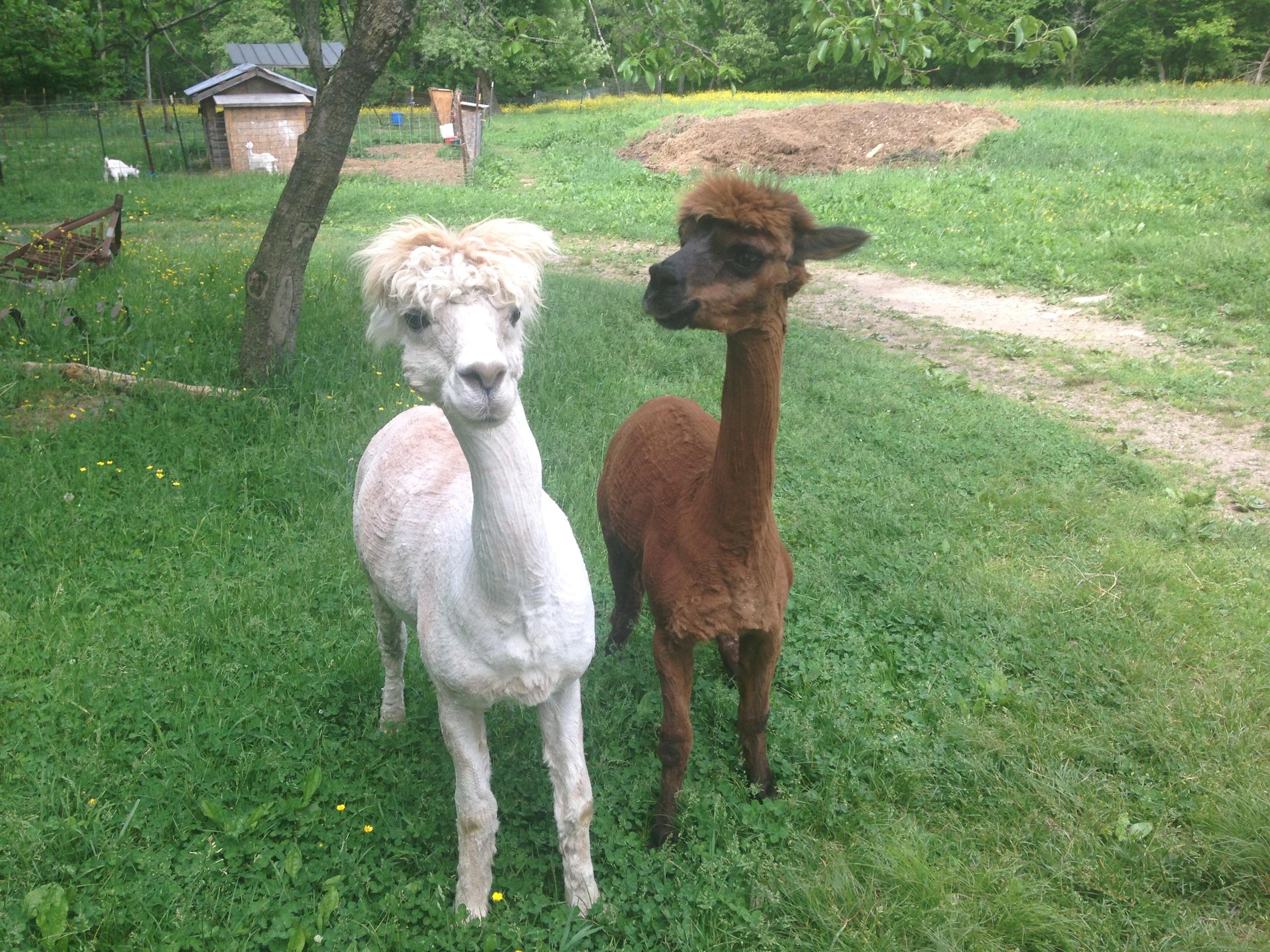 JourneysEndFarm_Alpacas2016-05-28 (15).JPG