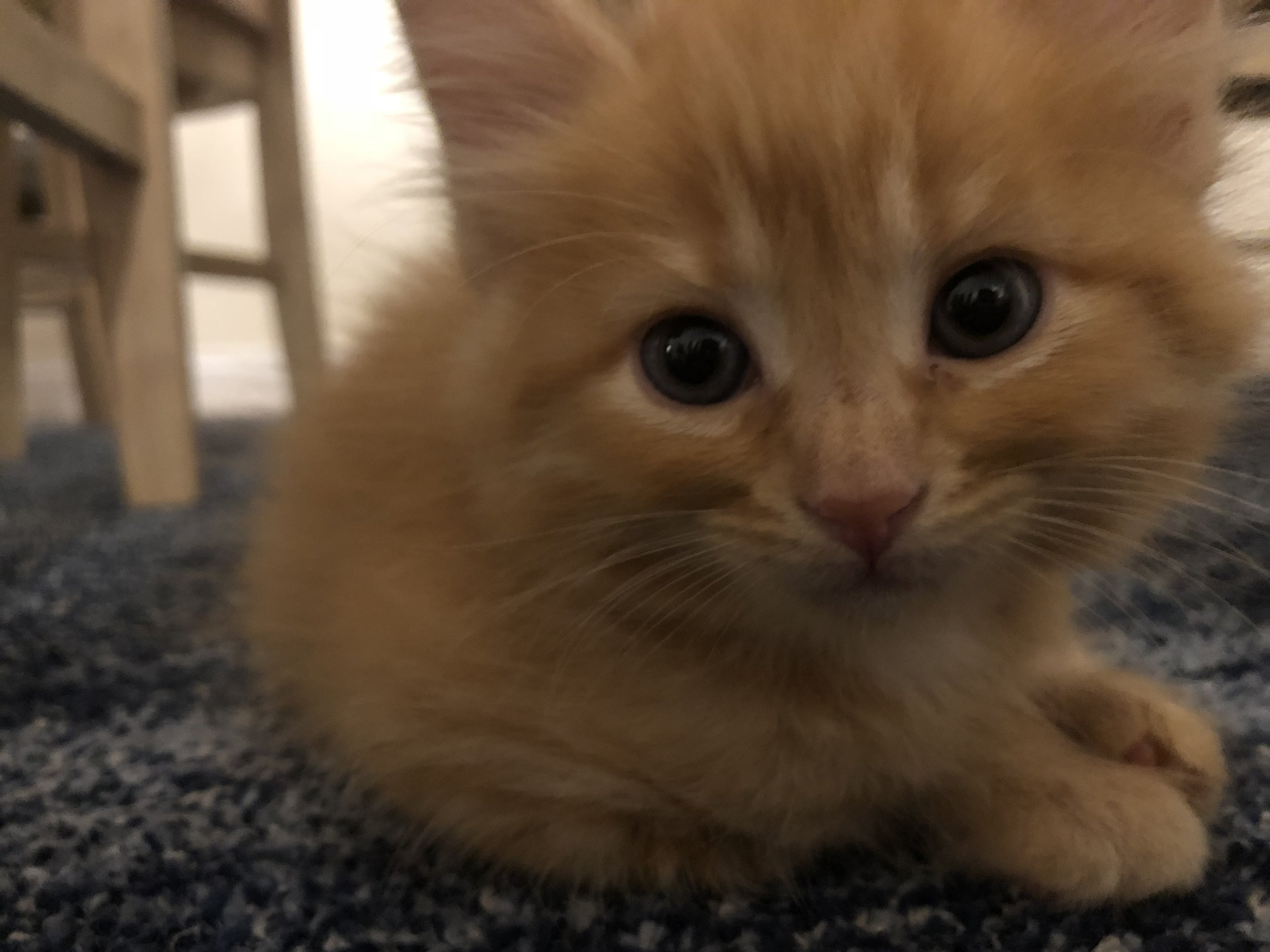 Our little Ginger Snippsy Buttons as a kitten. (That's what Hadassah calls her.)