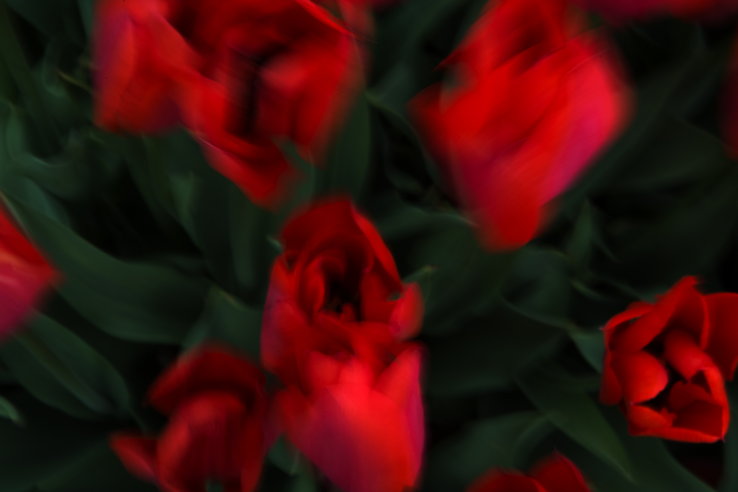 Red Tulips, No. 1