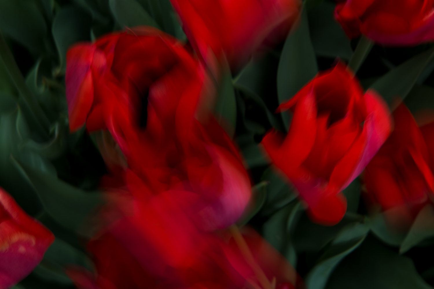 Red Tulips, No. 4