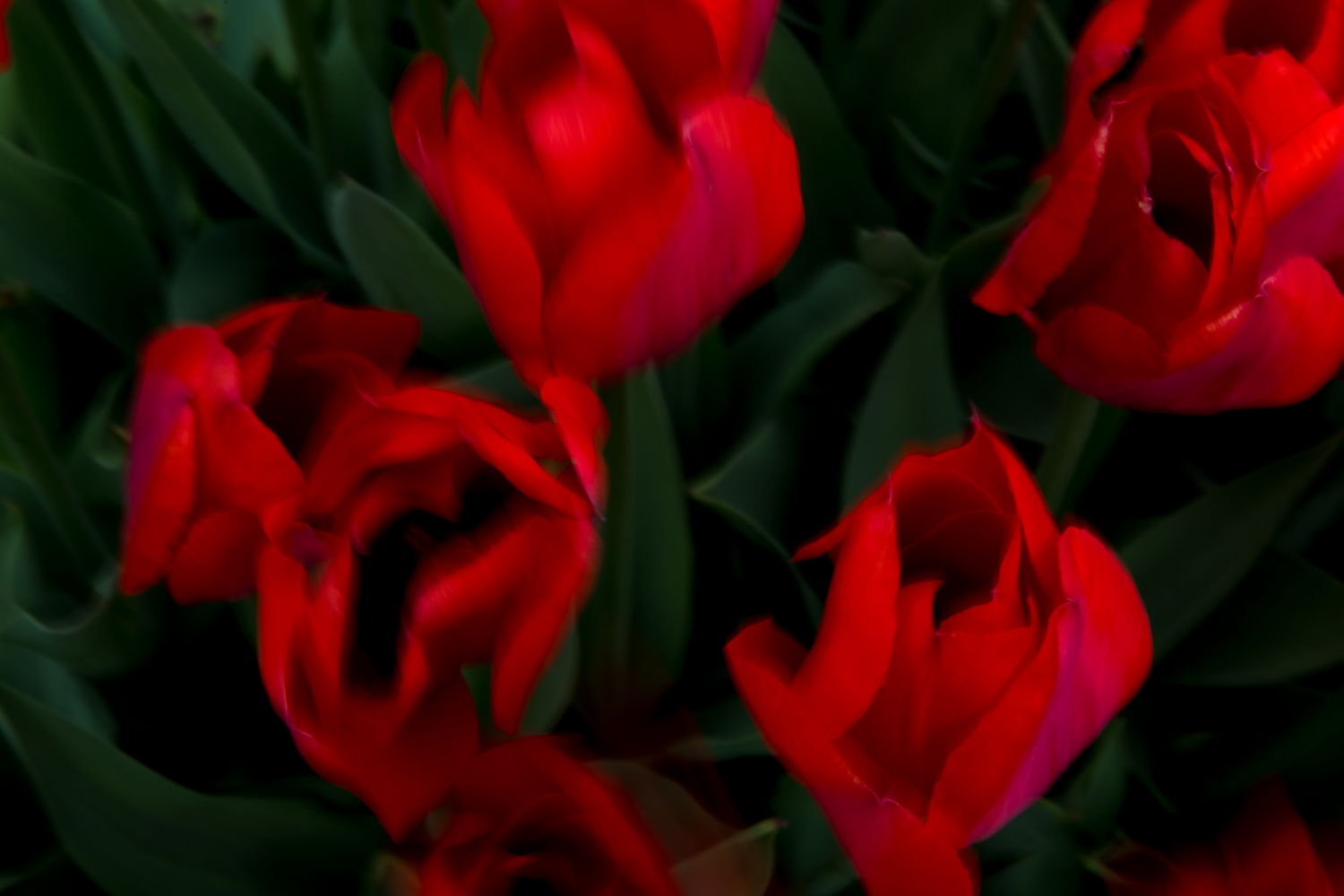 Red Tulips, No. 5