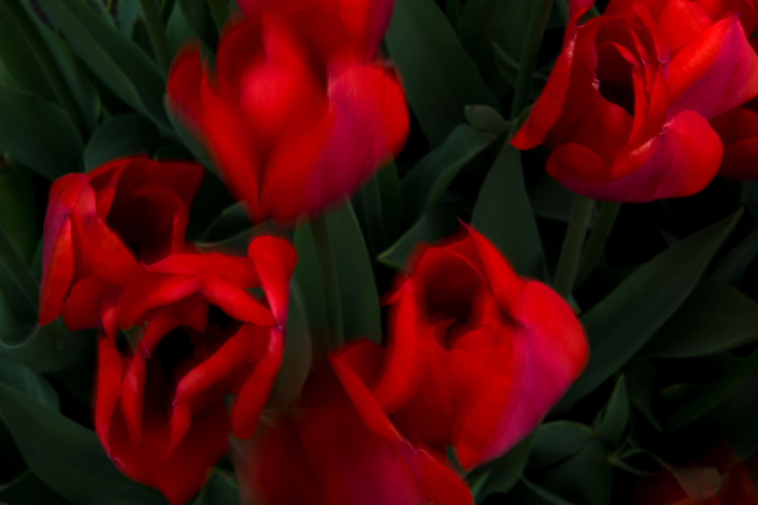Red Tulips No. 6