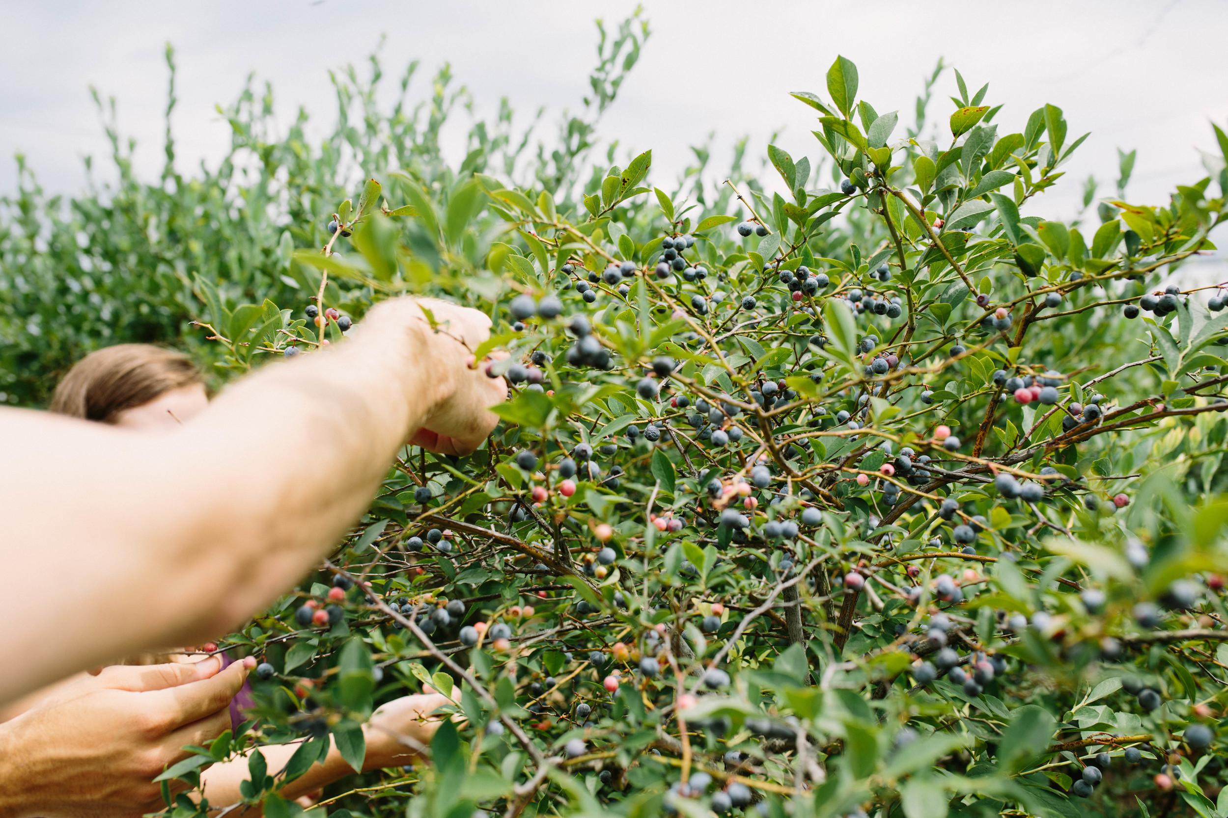 berries-7.jpg