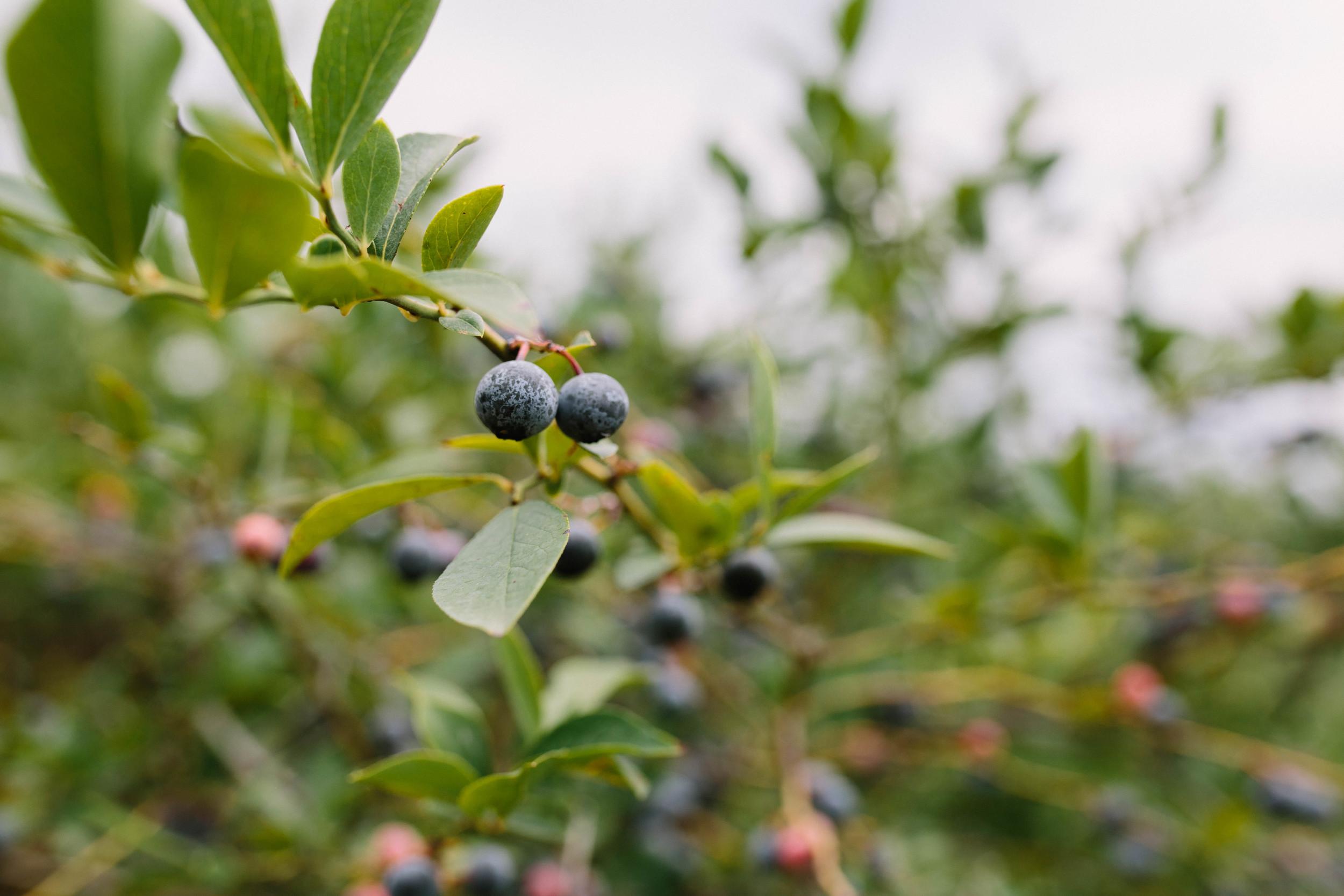 berries-8.jpg
