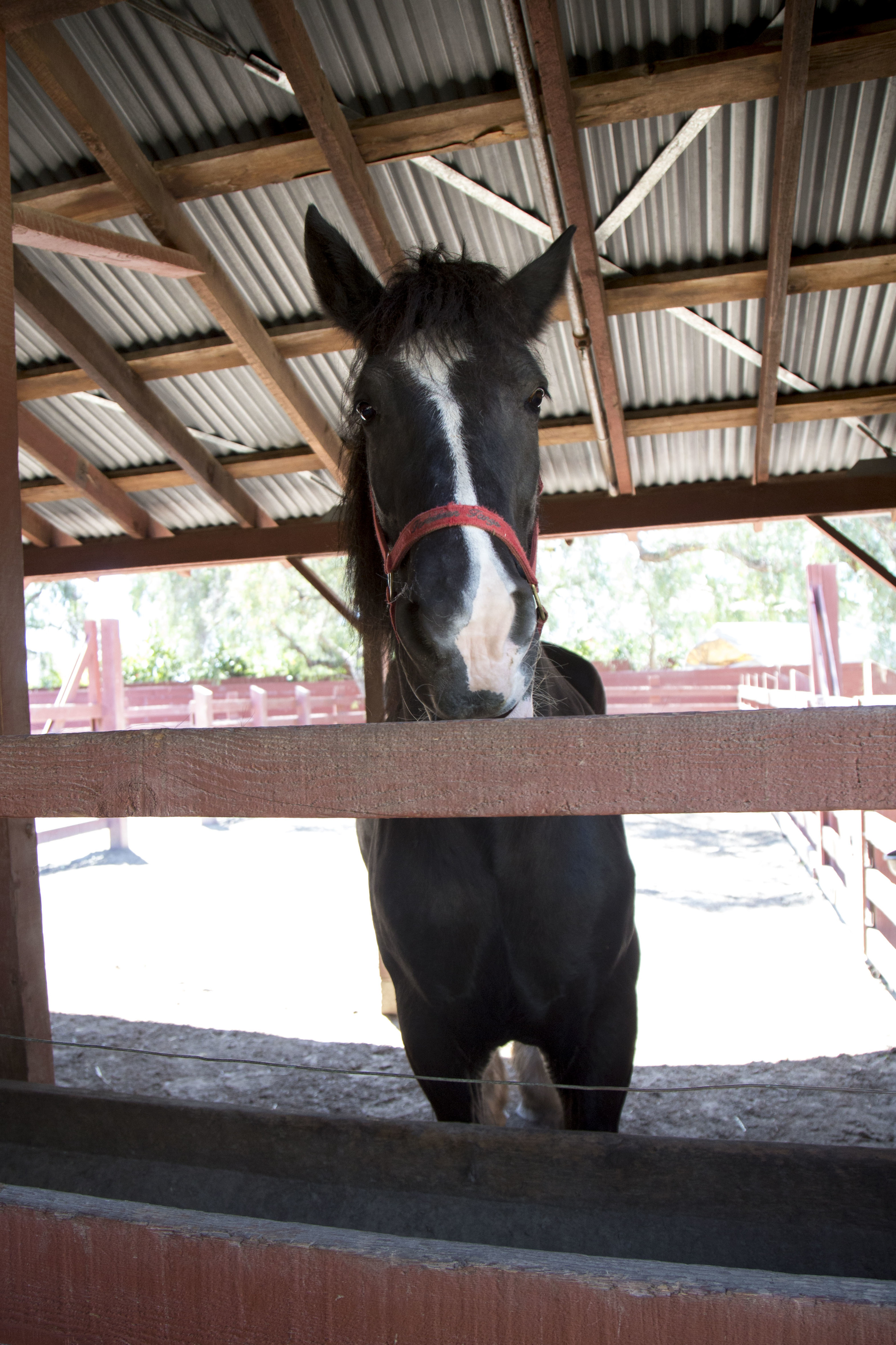 One of two large draft horses kept in the barn