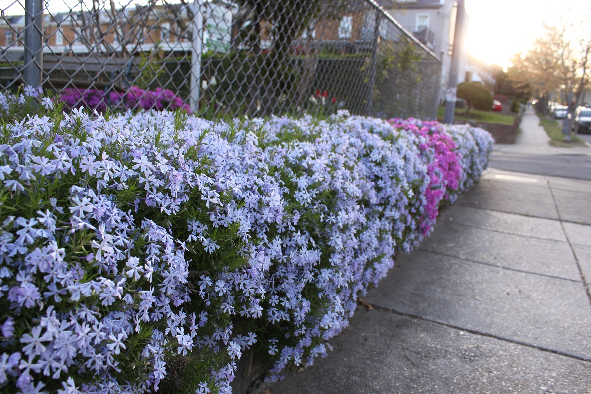 Creeping phlox on Allison Street and on 4th Street.