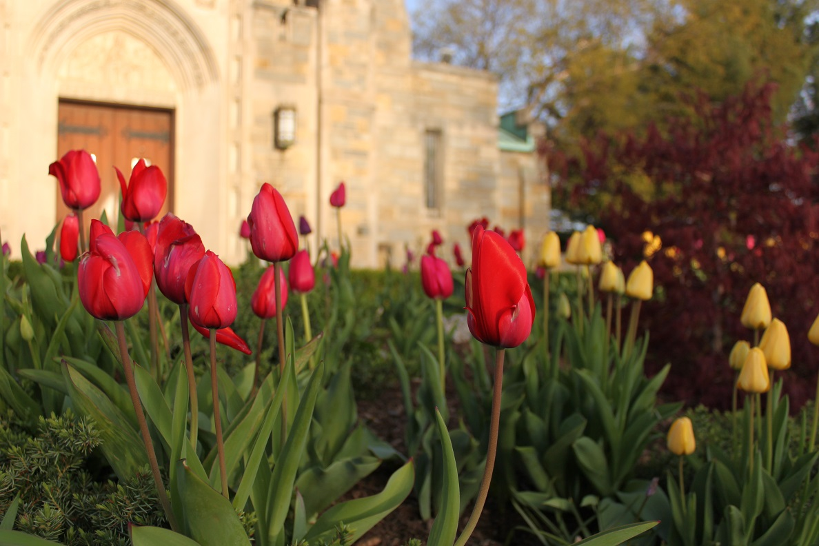 The beautiful bed of tulips in front of St. Gabriel's church at Grant Circle
