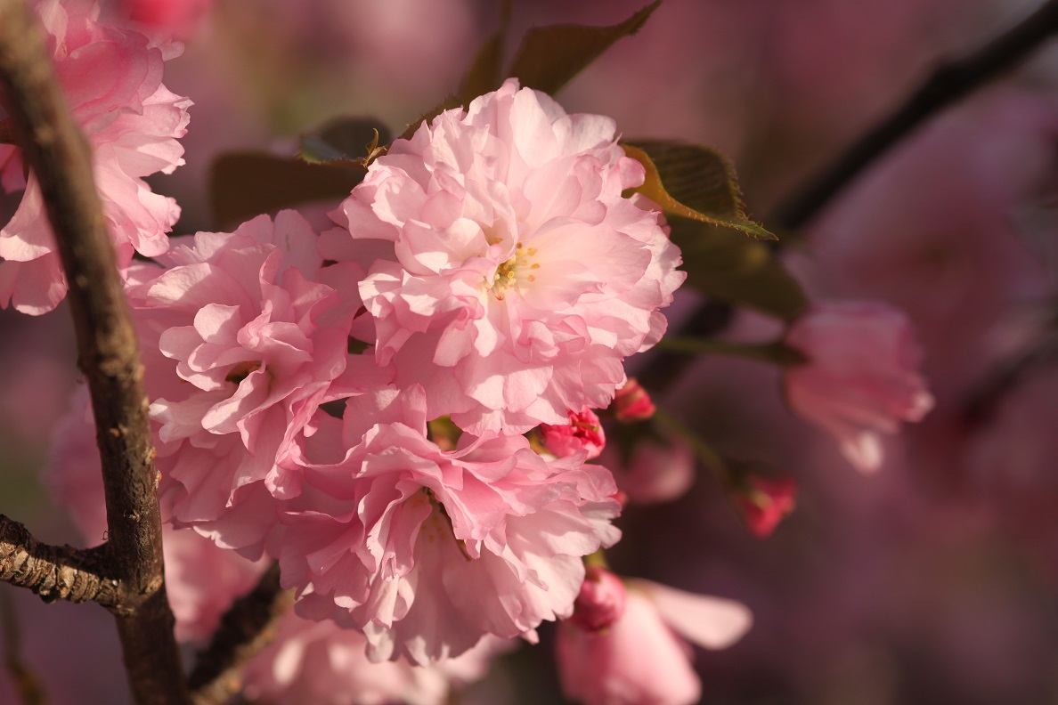 The intricate flowers of a Kwanzan cherry tree on Kansas Ave.