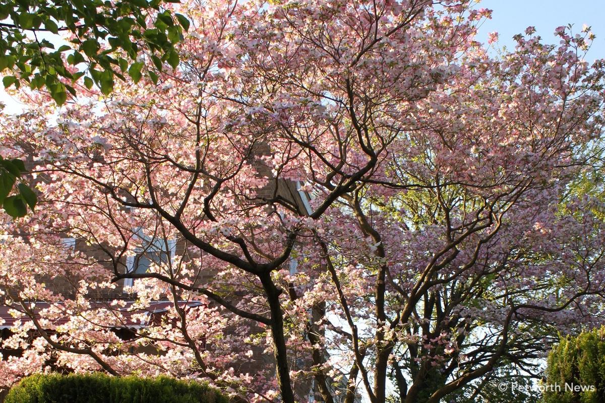 Pink variety of Flowering dogwood near Sherman Circle.