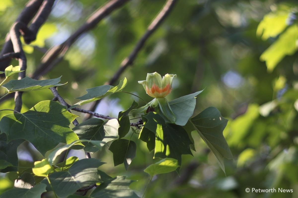 The distinctive leaves and flower of a Tulip Tree at EL Haynes Elementary School.