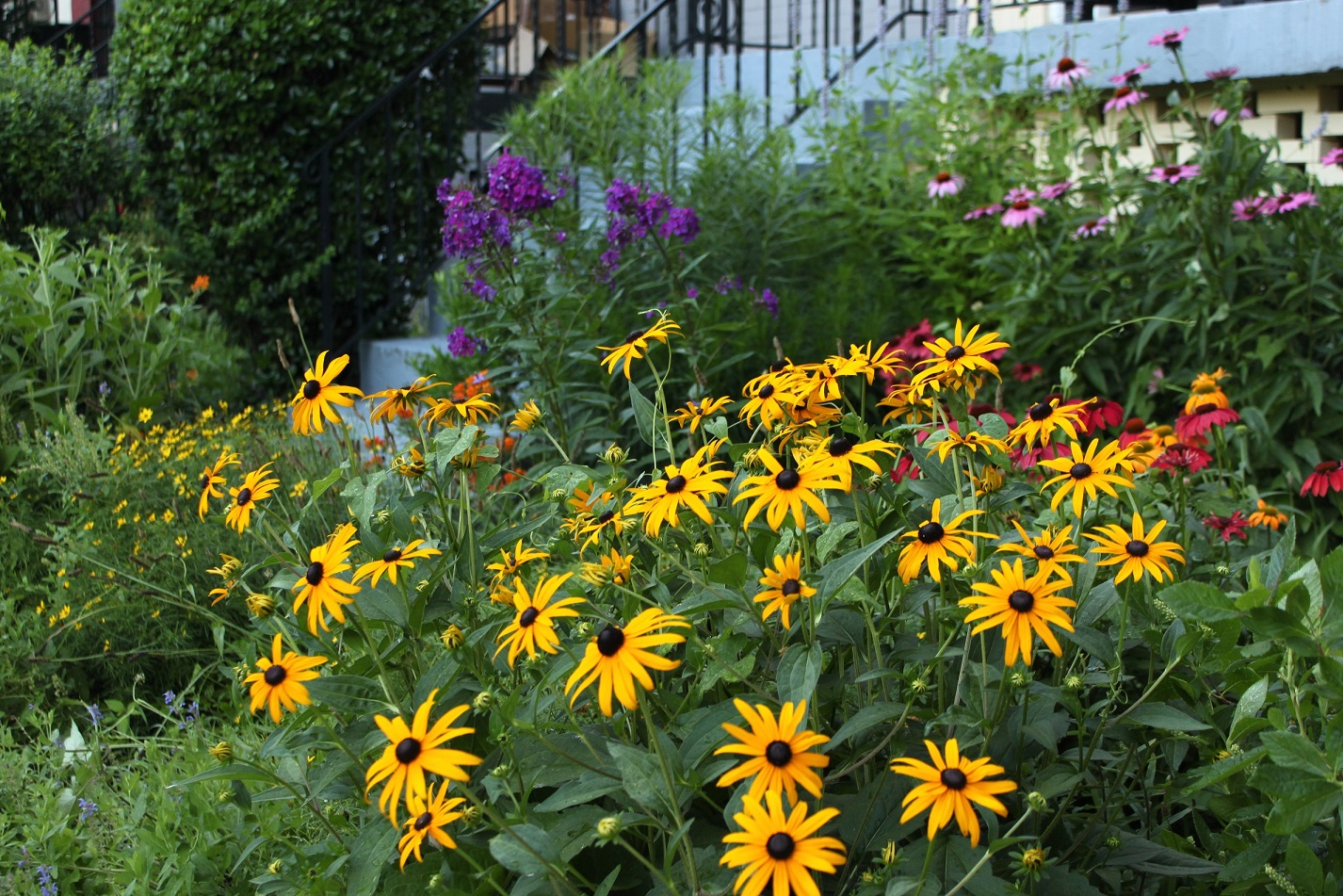 Black-eyed susans on 8th St. Garden Phlox, Coneflowers and Coreopsis in the background.