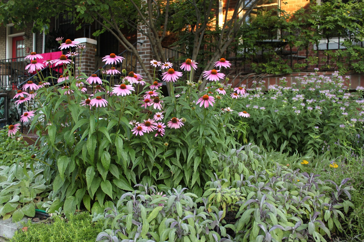 Coneflowers in a garden on New Hampshire Ave.