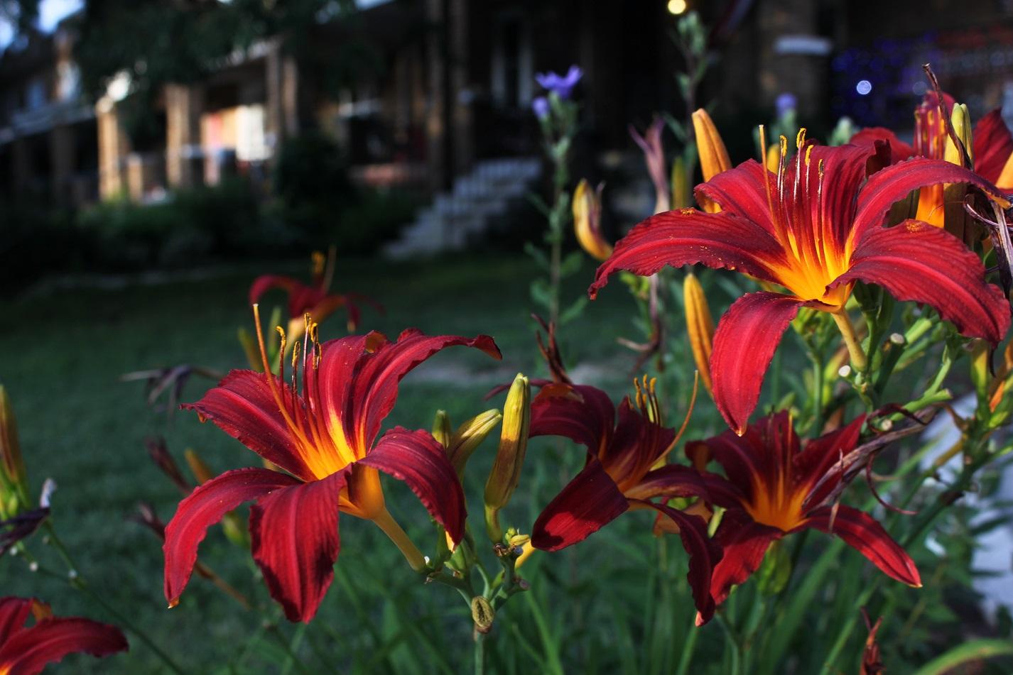 Daylilies on the outside of Sherman Circle.
