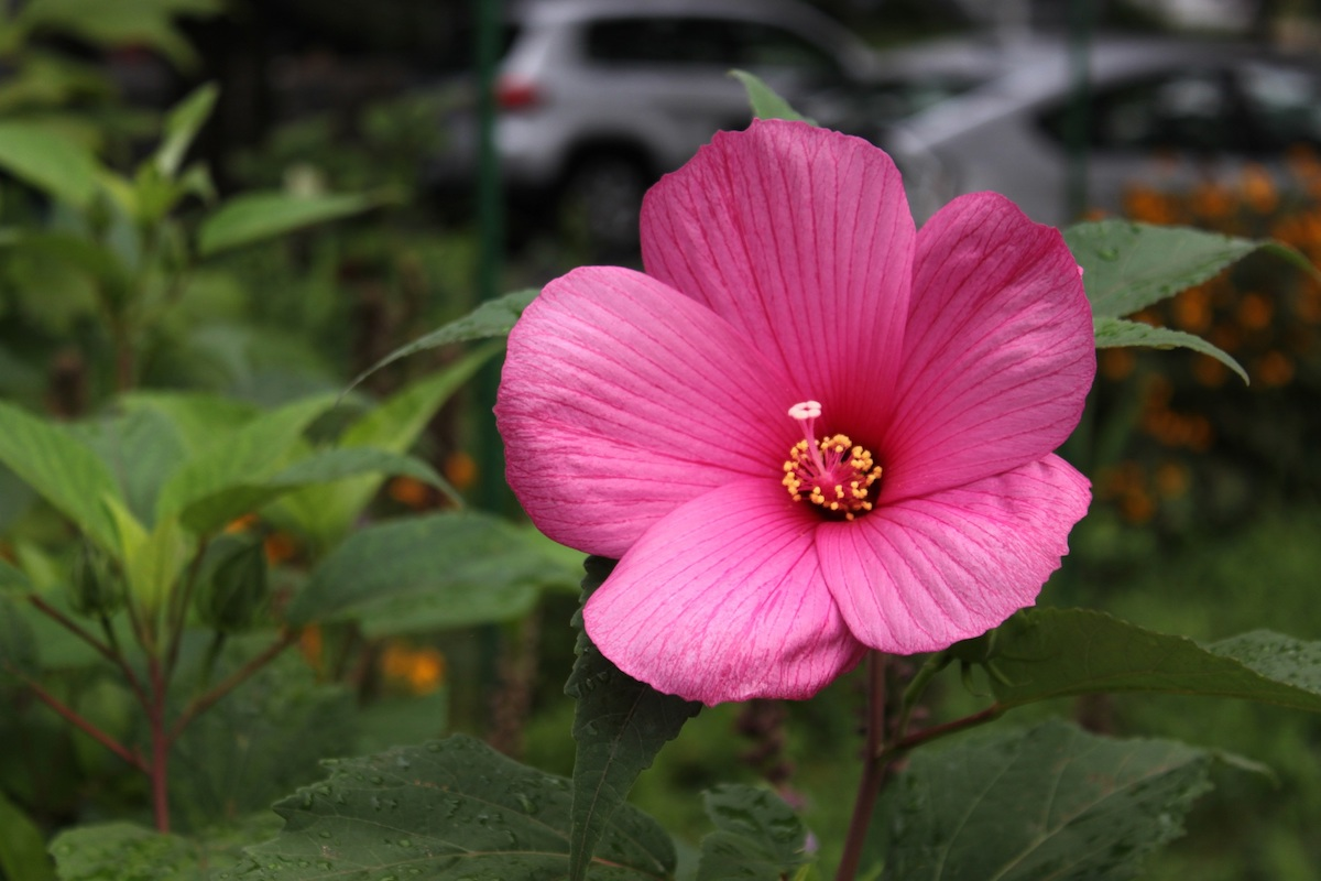 Pink rose mallow in the author's garden on 4th Street NW. These enormous flowers only last for 1 day!