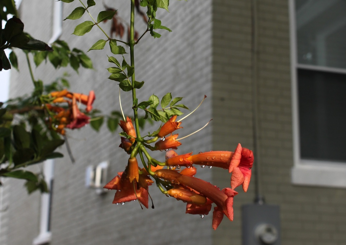 Trumpet creeper hanging in an alley on 5th Street NW.