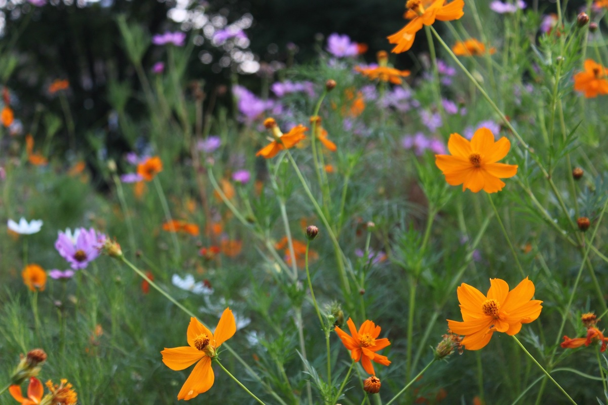 Orange, lavender and white cosmos blooming in Grant Circle. The seeds are easy to collect this time of year.