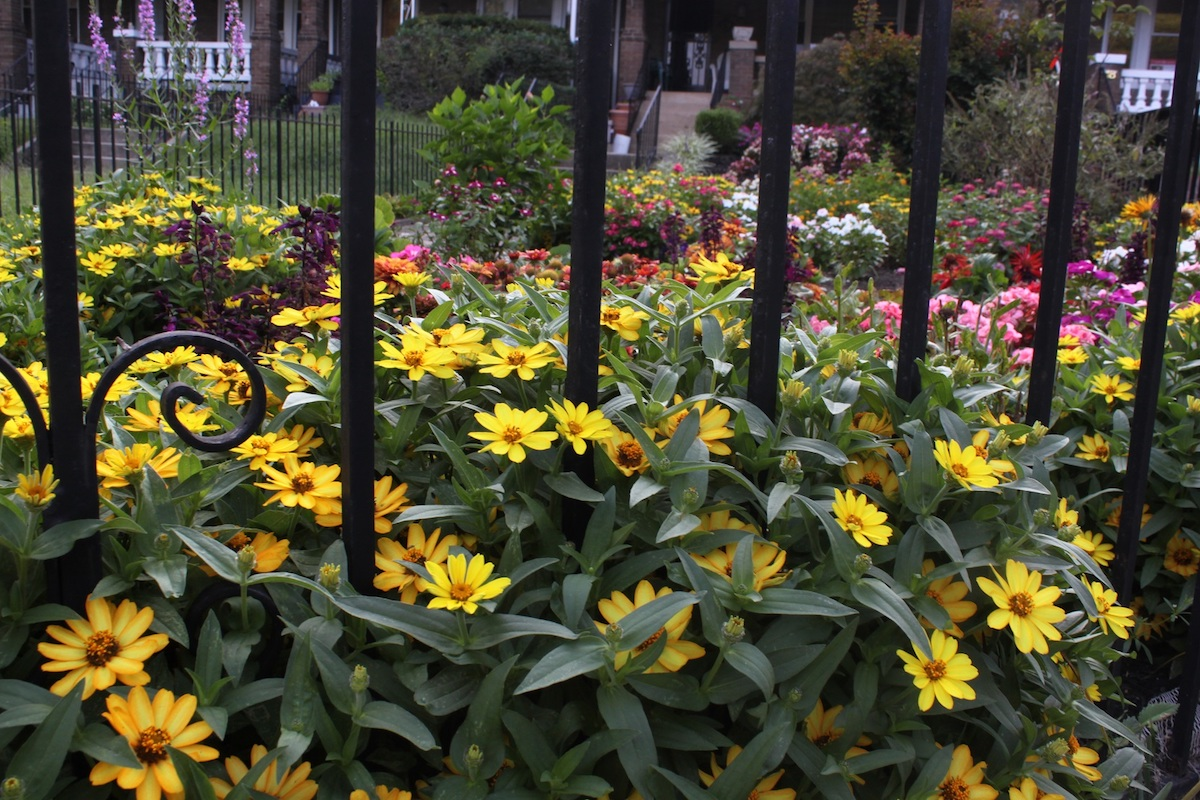 A fantastic garden featuring lots of yellow zinnias on Sherman Circle.