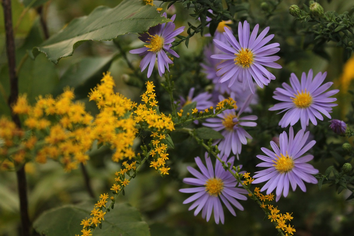 Goldenrod mixed in with a purple aster on 4th Street.
