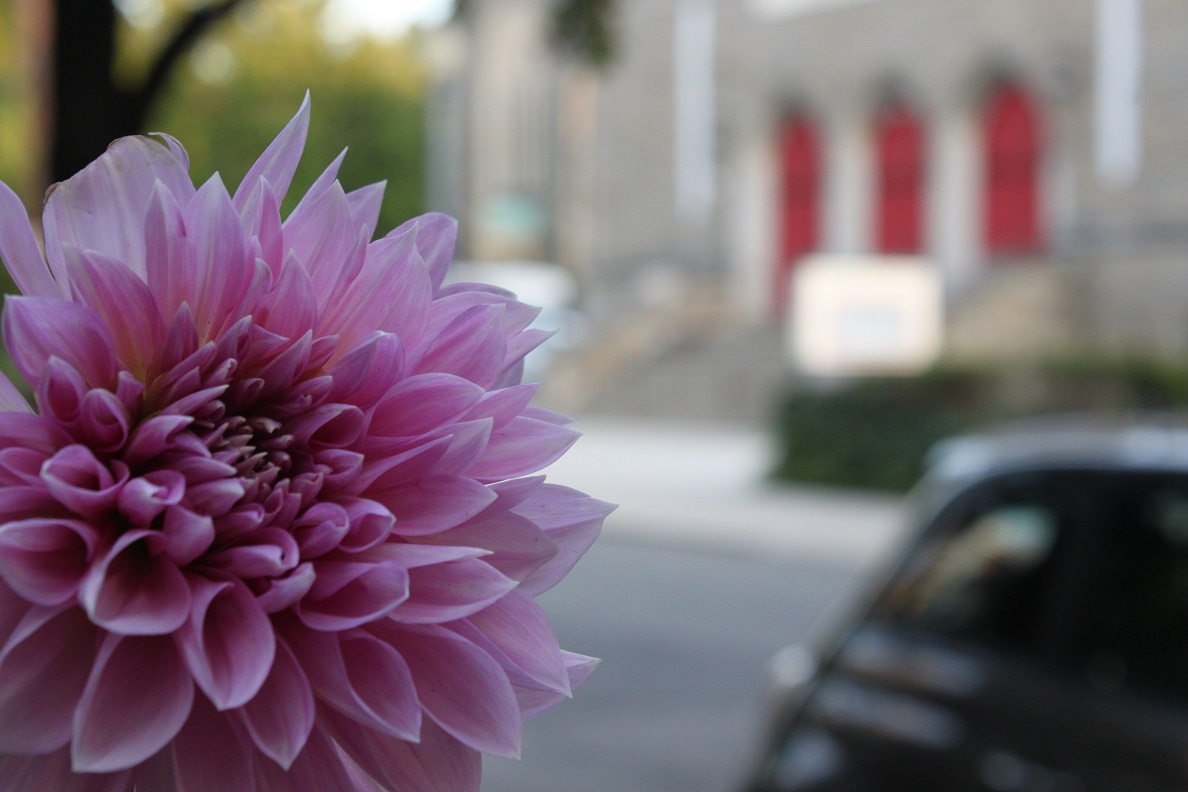 A pink dahlia across the street from Center City Charter School on Webster Street.