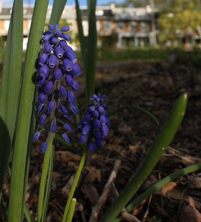 Grape-Hyacinth growing in the triangle park at 4th and Buchanan