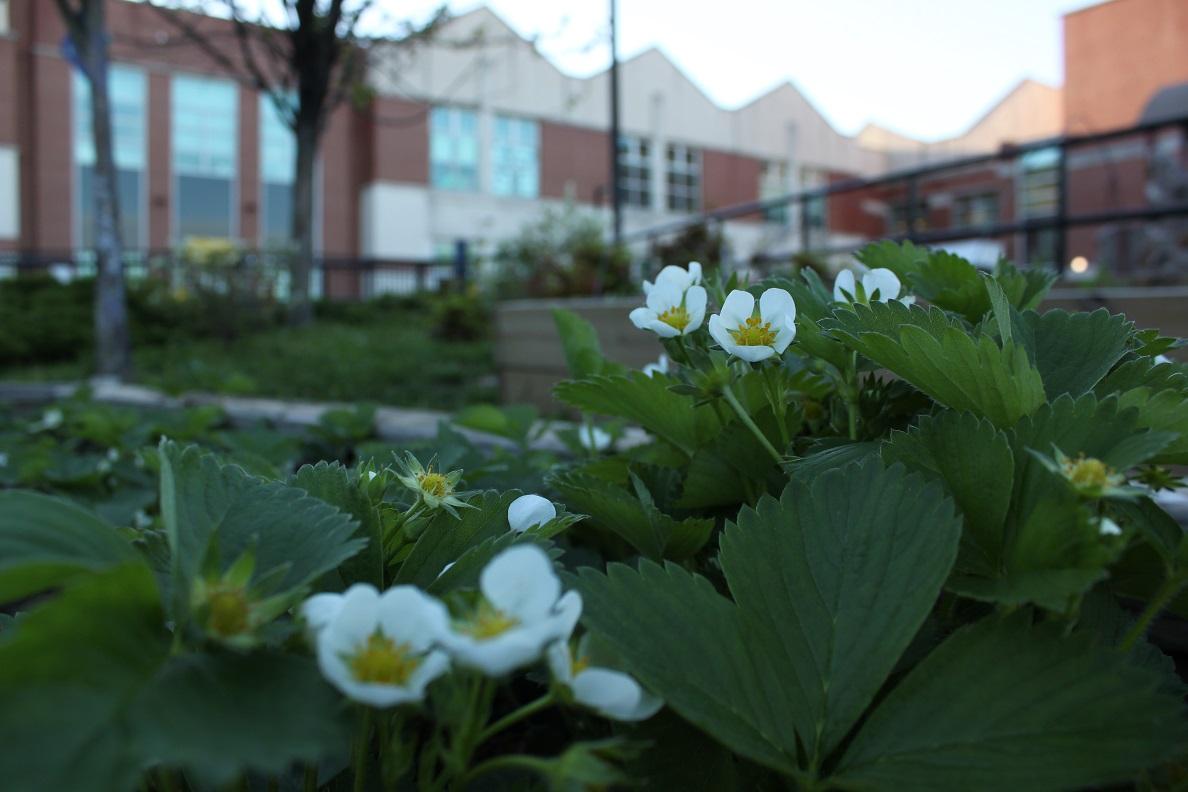 Strawberries flowering in the Barnard Elementary food garden.
