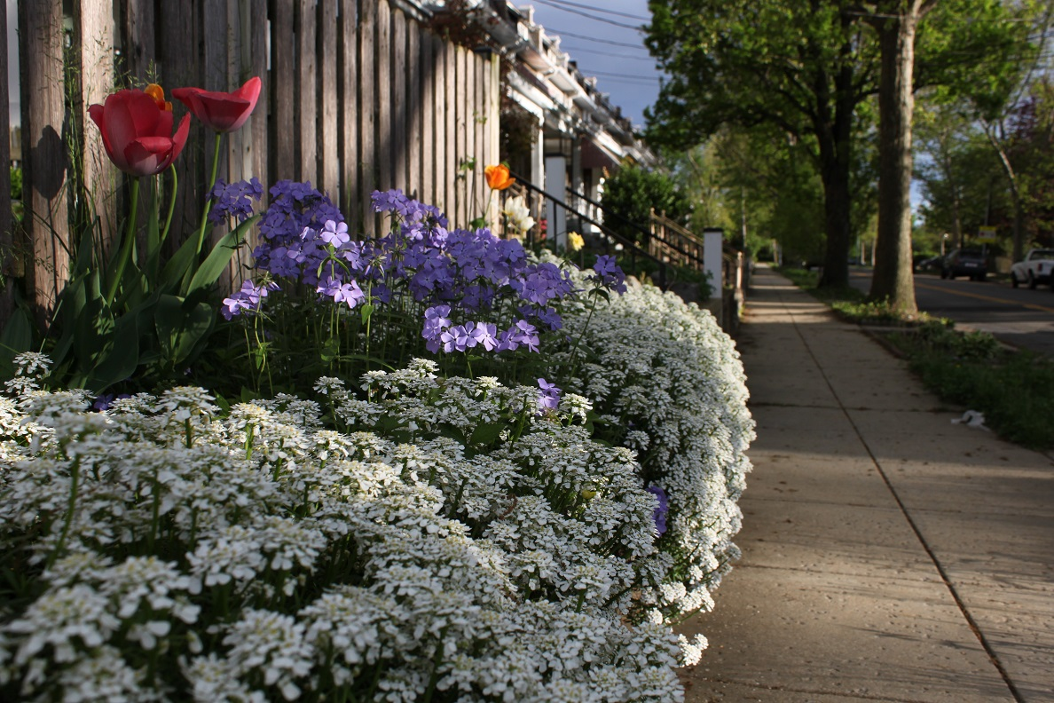 Candytuft along with woodland phlox and tulips makes for an excellent show along this 5th Street retaining wall