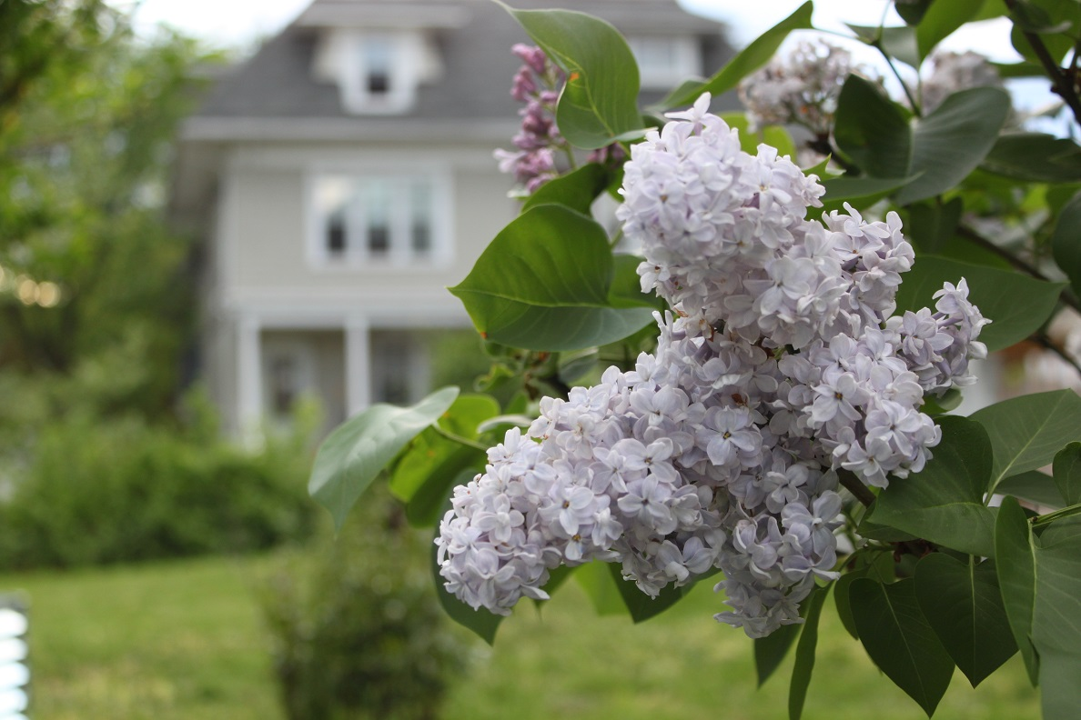 Lilac blooming on Kansas Ave